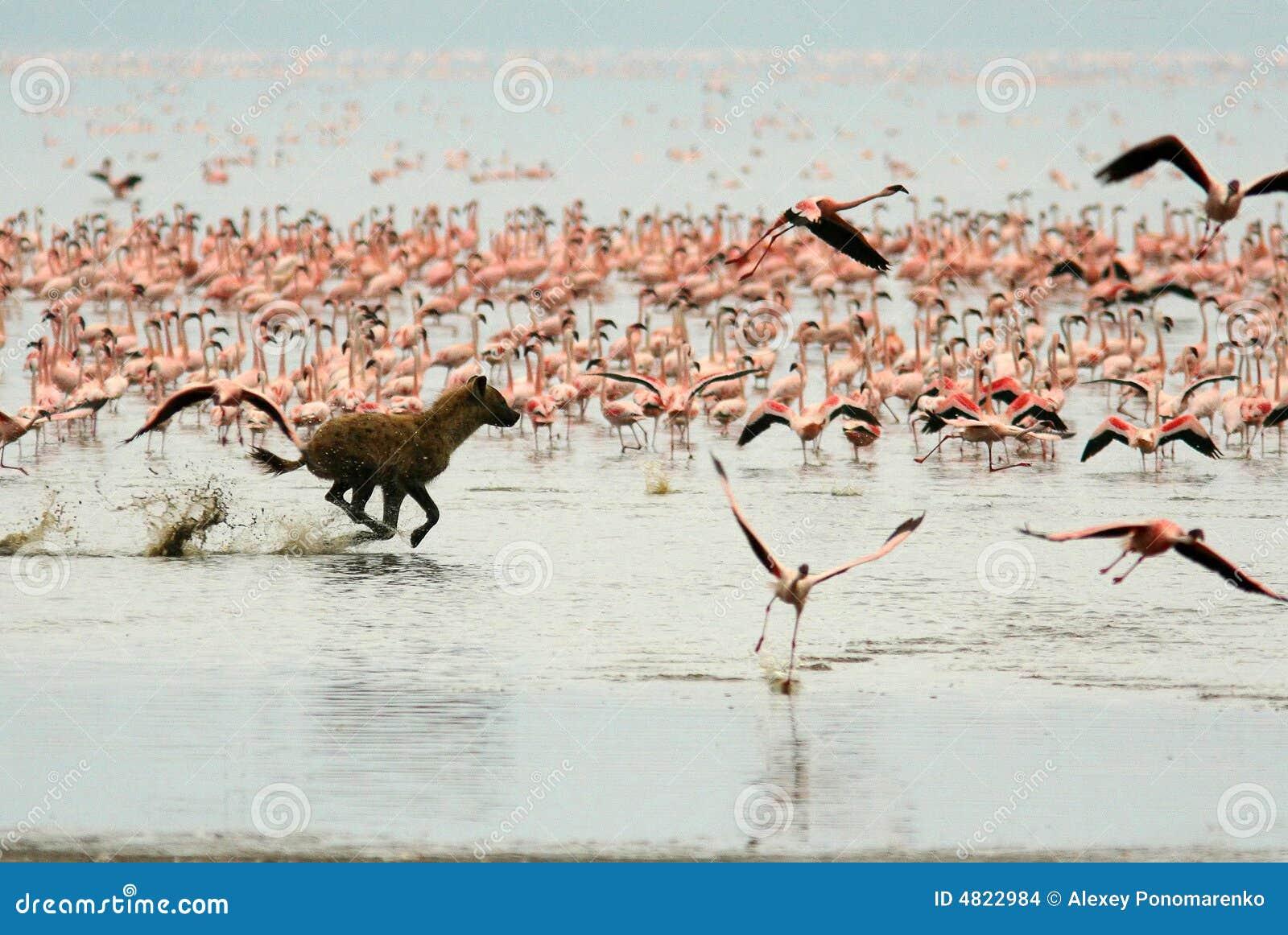 Namierz flamingi hieny