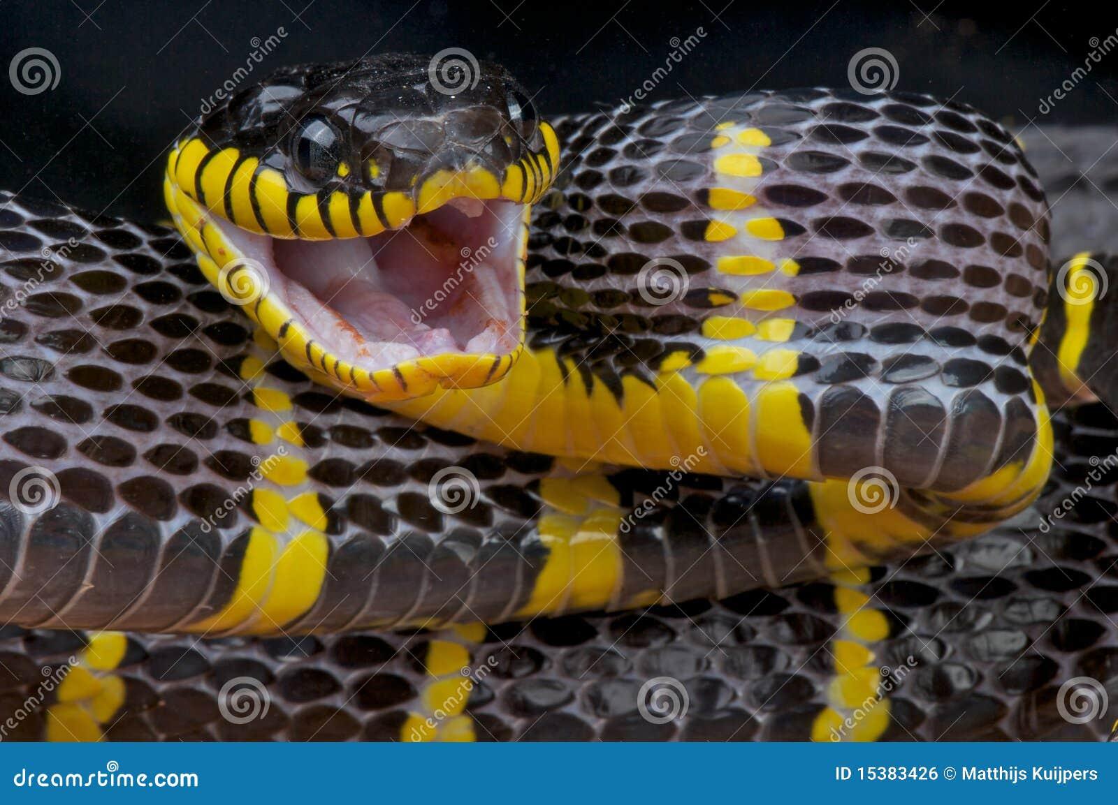 Namorzynowy napadanie wąż