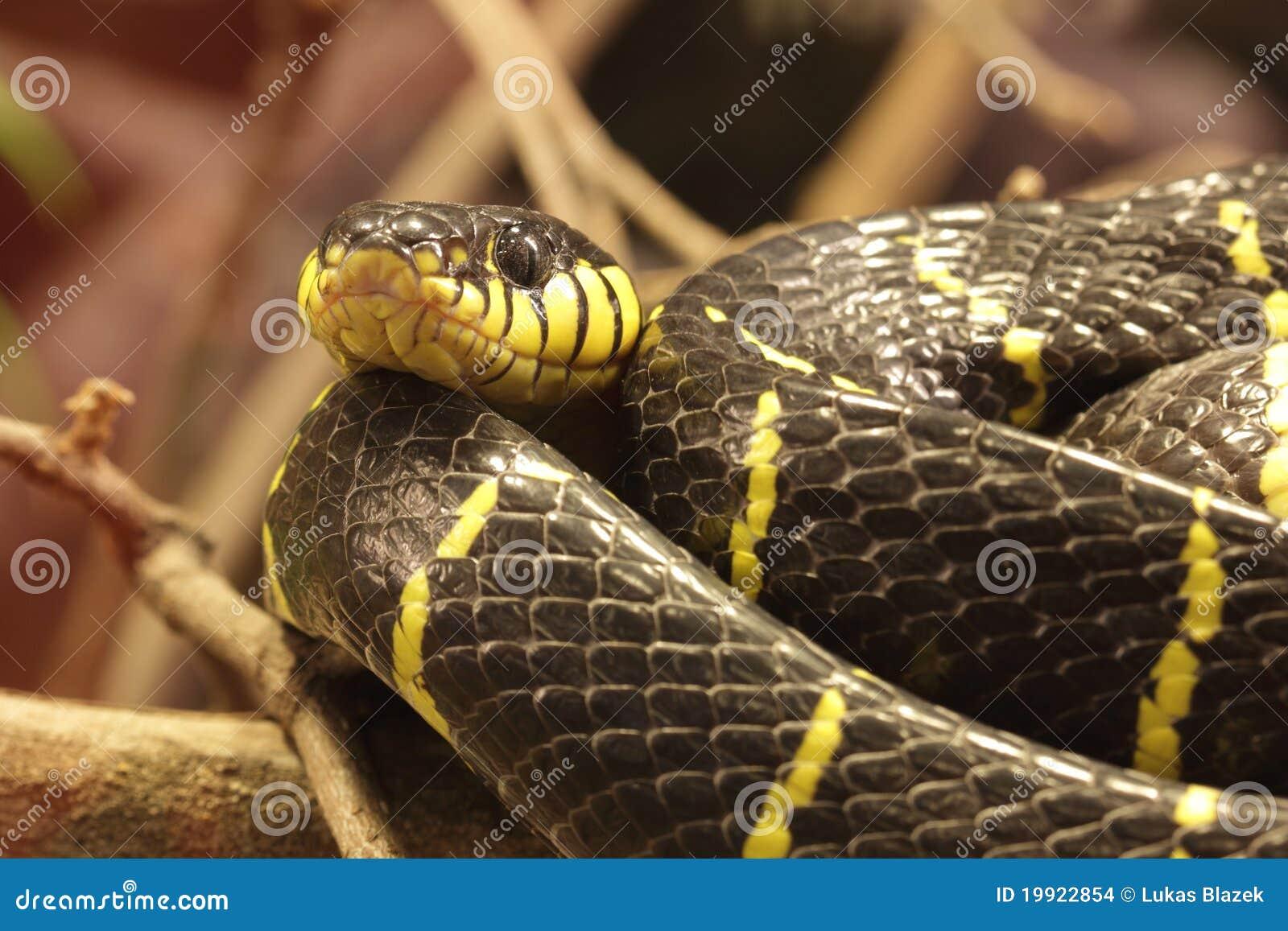 Namorzynowy wąż