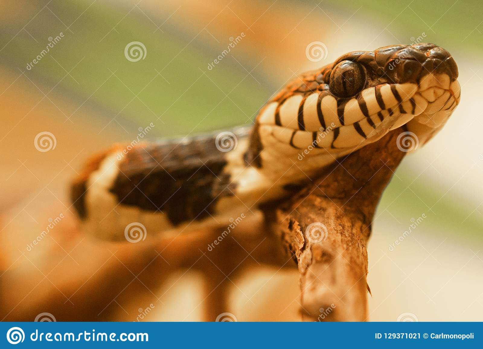 Namorzynowy węża Boiga dendrophila