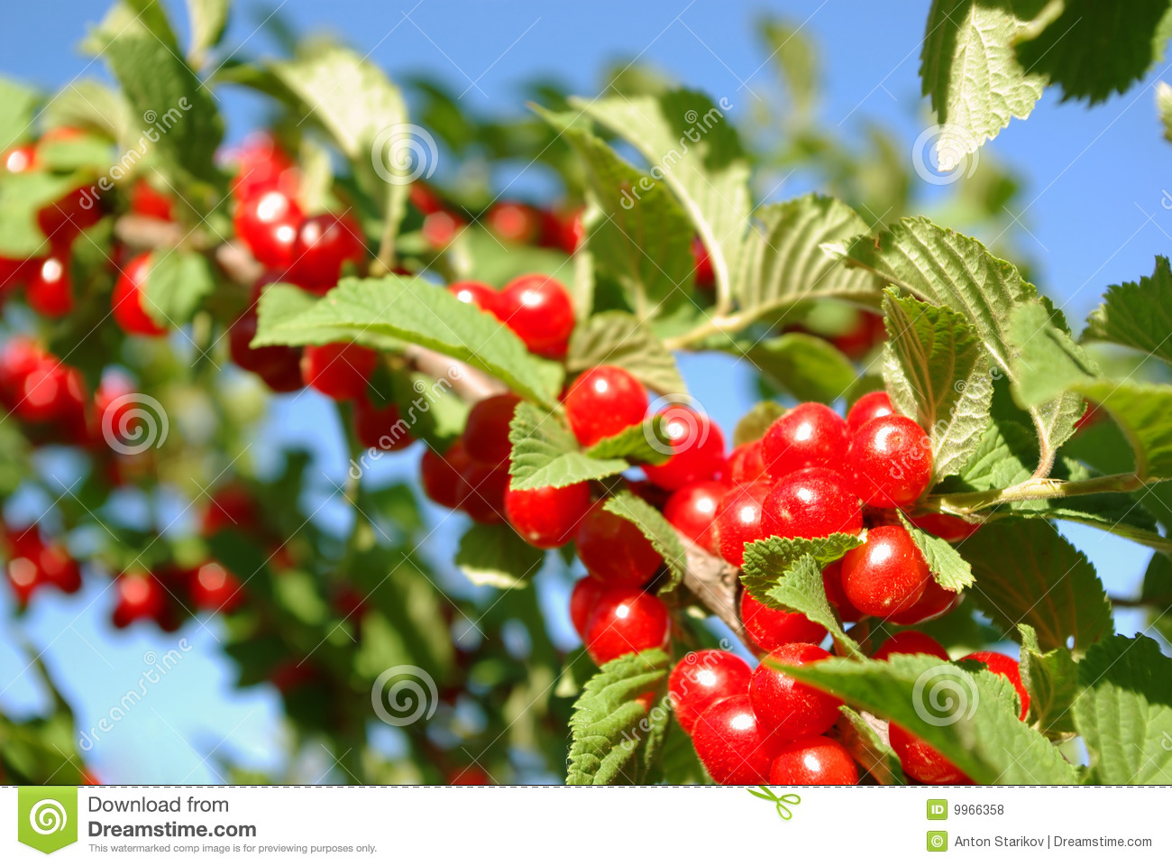 Nanking Cherry Bush