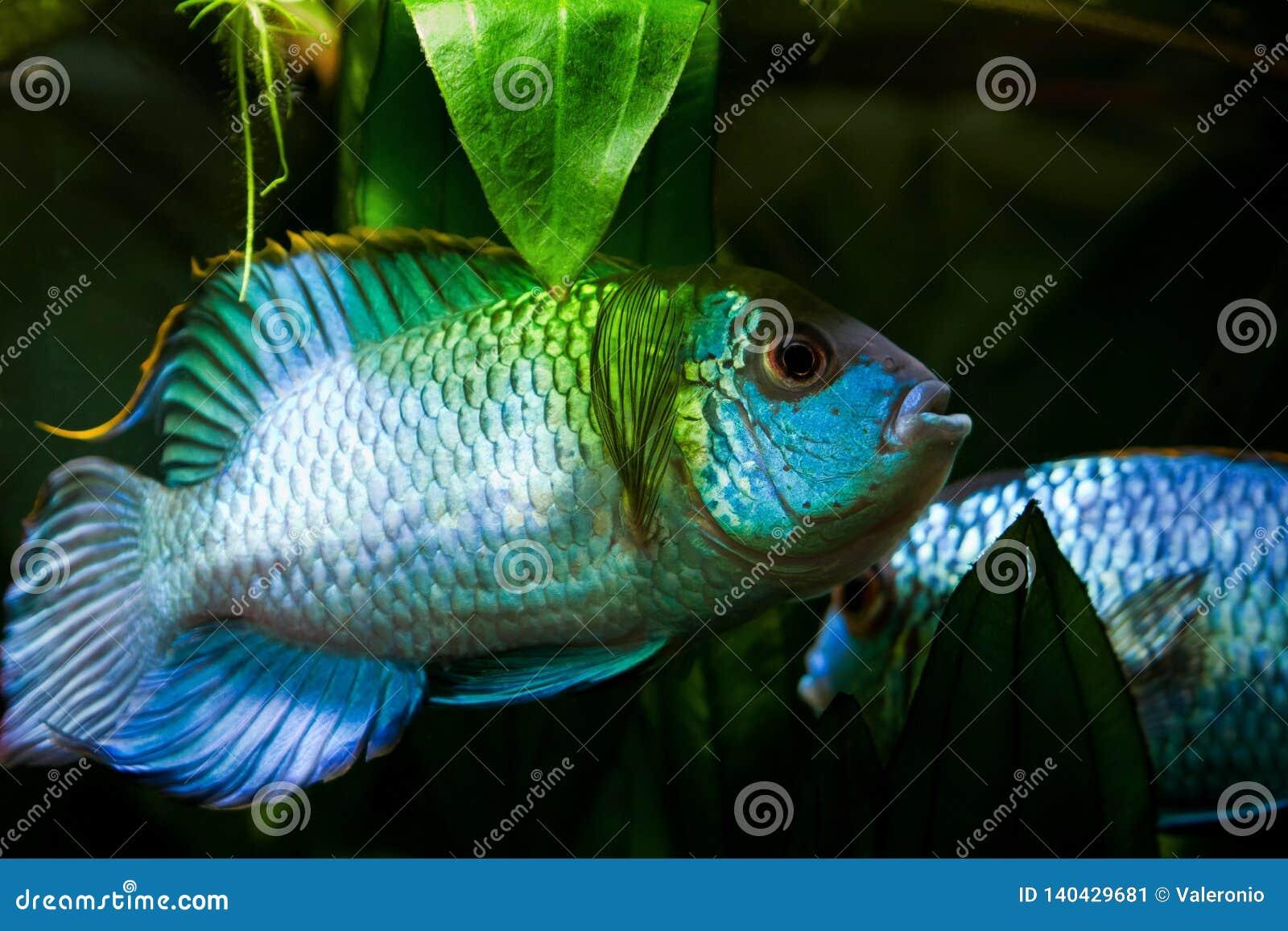 Nannacara anomala błękitnego, słodkowodnego cichlid samiec dominująca ryba w tarłowym koloru koperczaki neonowa, żeński, naturaln