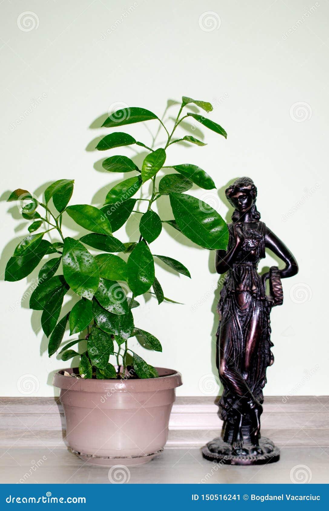 Nano arancio sviluppato in vasi nella casa statua dell osso Priorit? bassa bianca