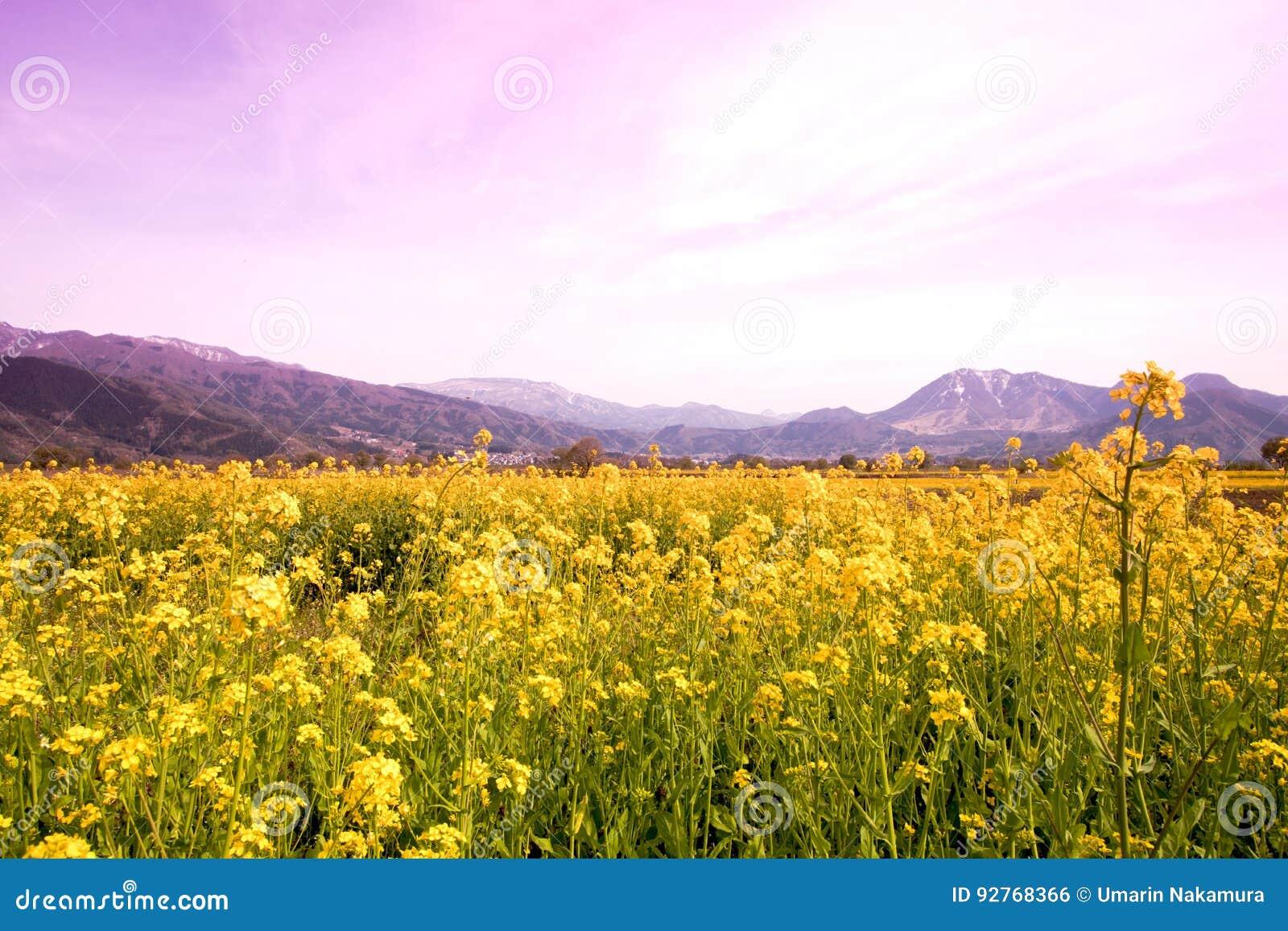 Nanohana Flowers In Japan Stock Photo Image Of Know 92768366