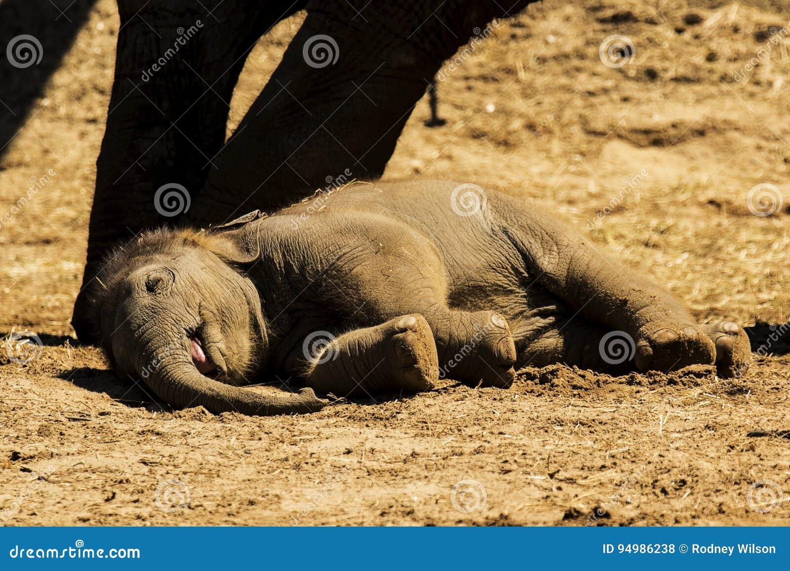 Nap Time voor deze Babyolifant