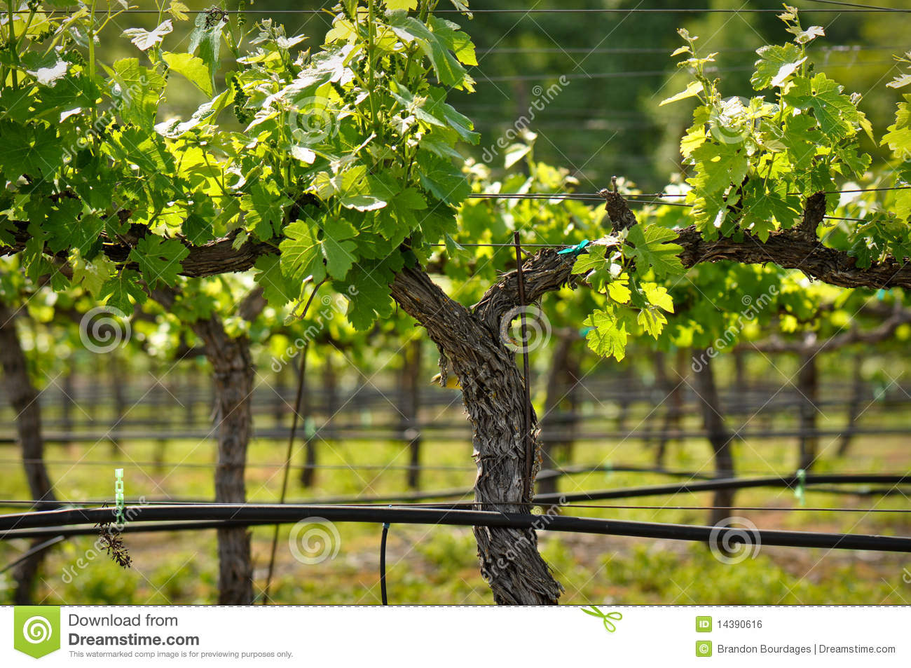 Napa Valley Gra... Red Wine Grapes