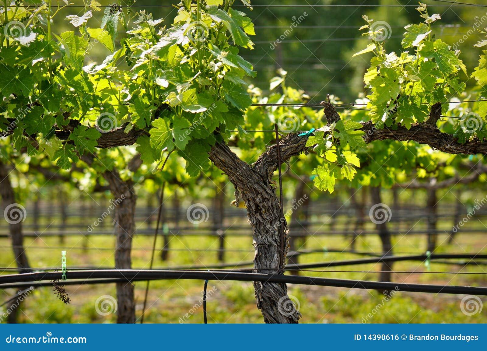 napa valley grapevine closeup royalty free stock image grape vine clipart free grape vine clip art png