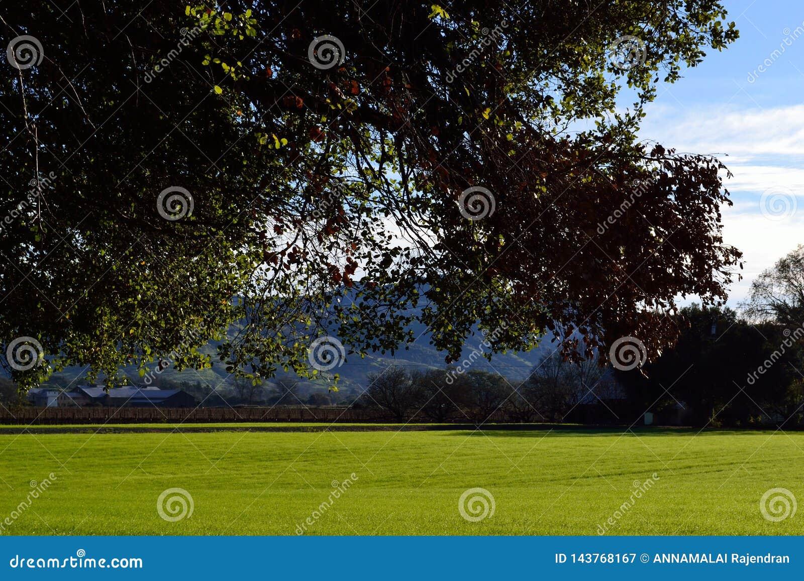 Napa Valley Kalifornien lantgårdfält med förgrundsträdet