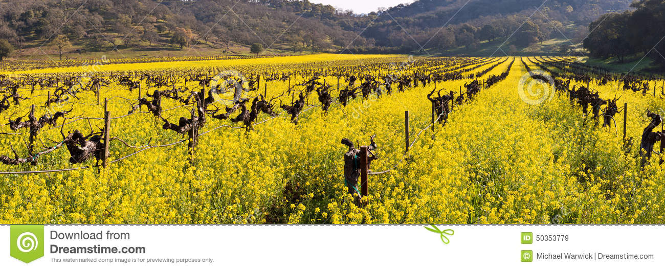 Download Napa Valley Vineyards And Spring Mustard Stock Image - Image of bloom, edible: 50353779
