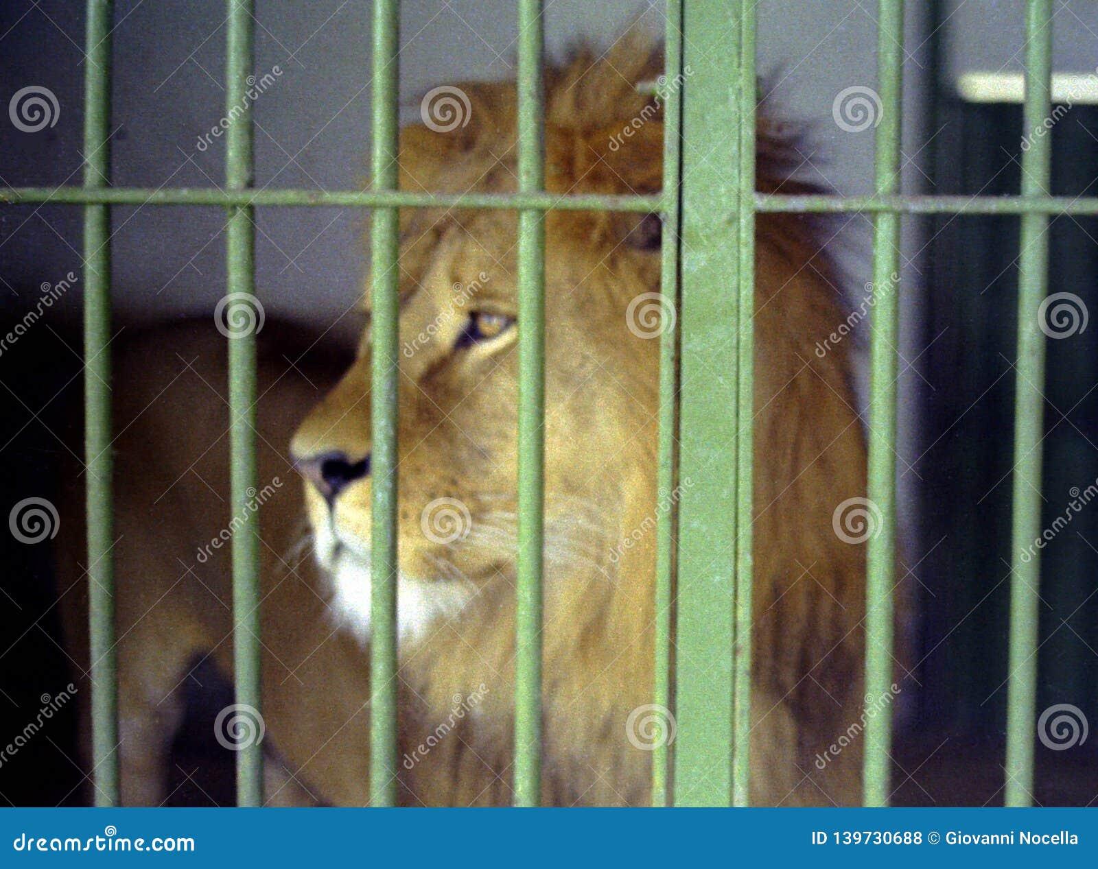 NAPLES, ITALIE, 1960 - de beaux et jeunes regards de lion au-dessus des barres de sa cage dans le zoo de Naples à la recherche de