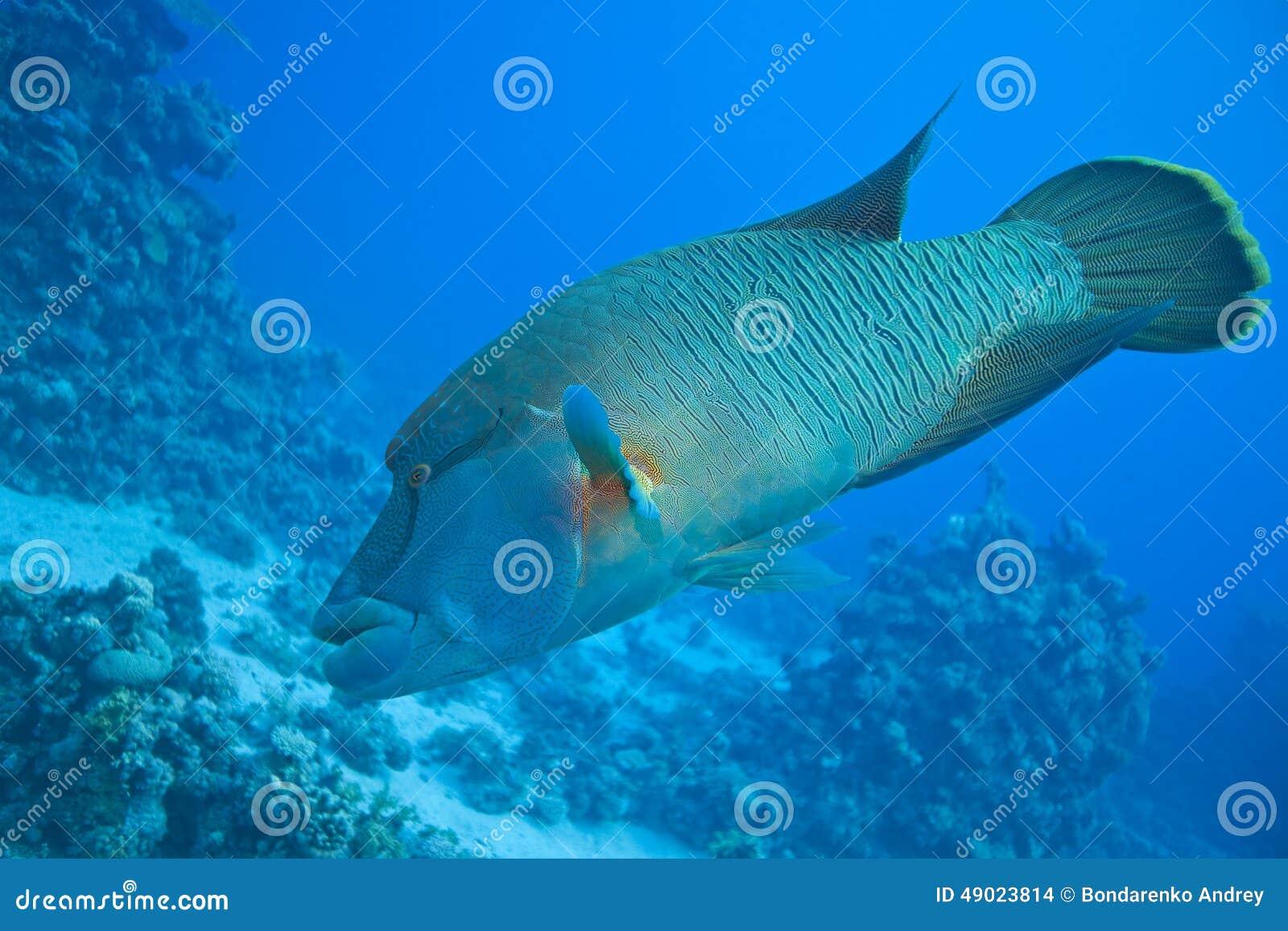 Napoleon fish stock photo image 49023814 for Red sea fish