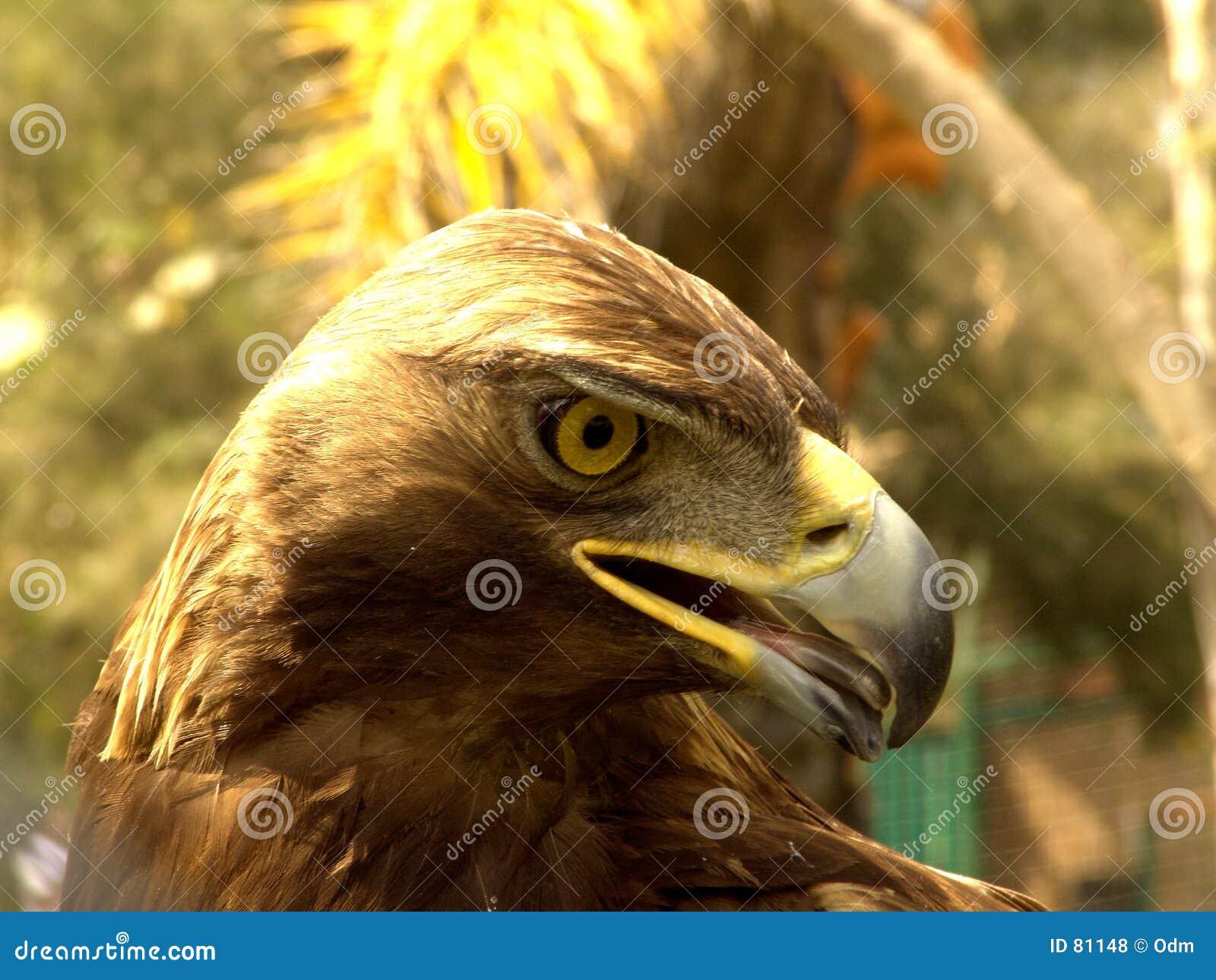 Naprawdę orła