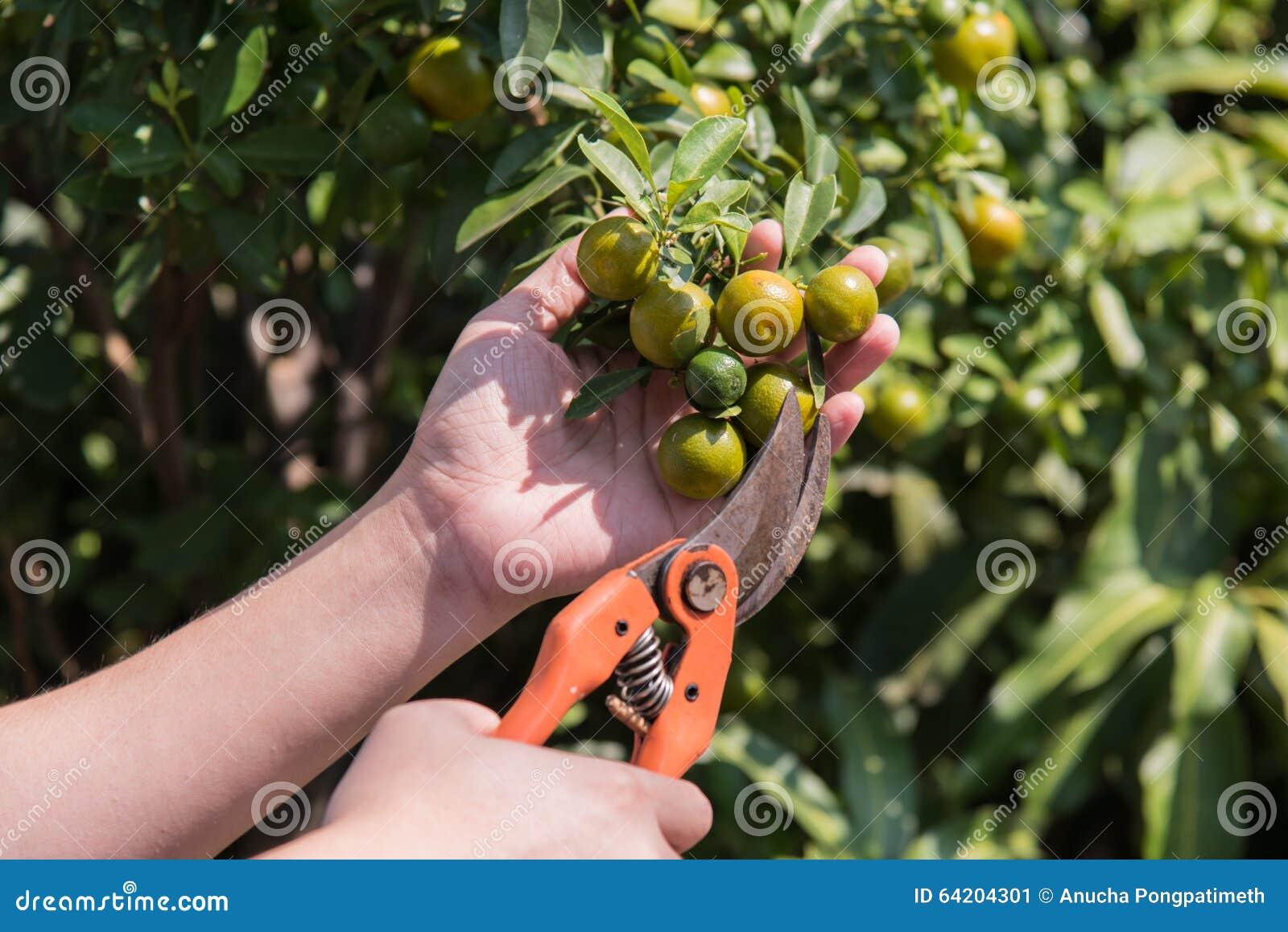 Naranja de la cosecha