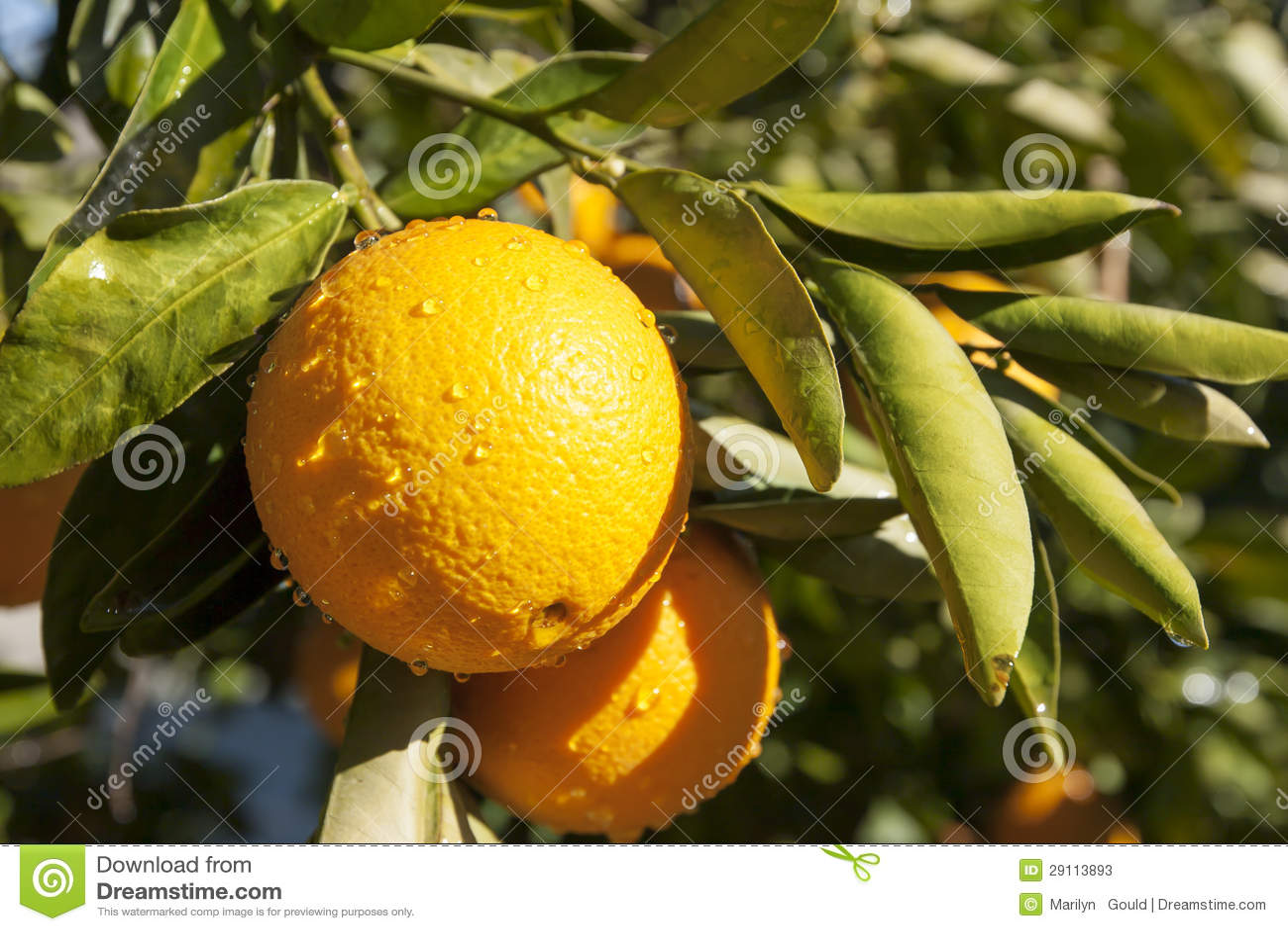 Naranjas en la ramificación