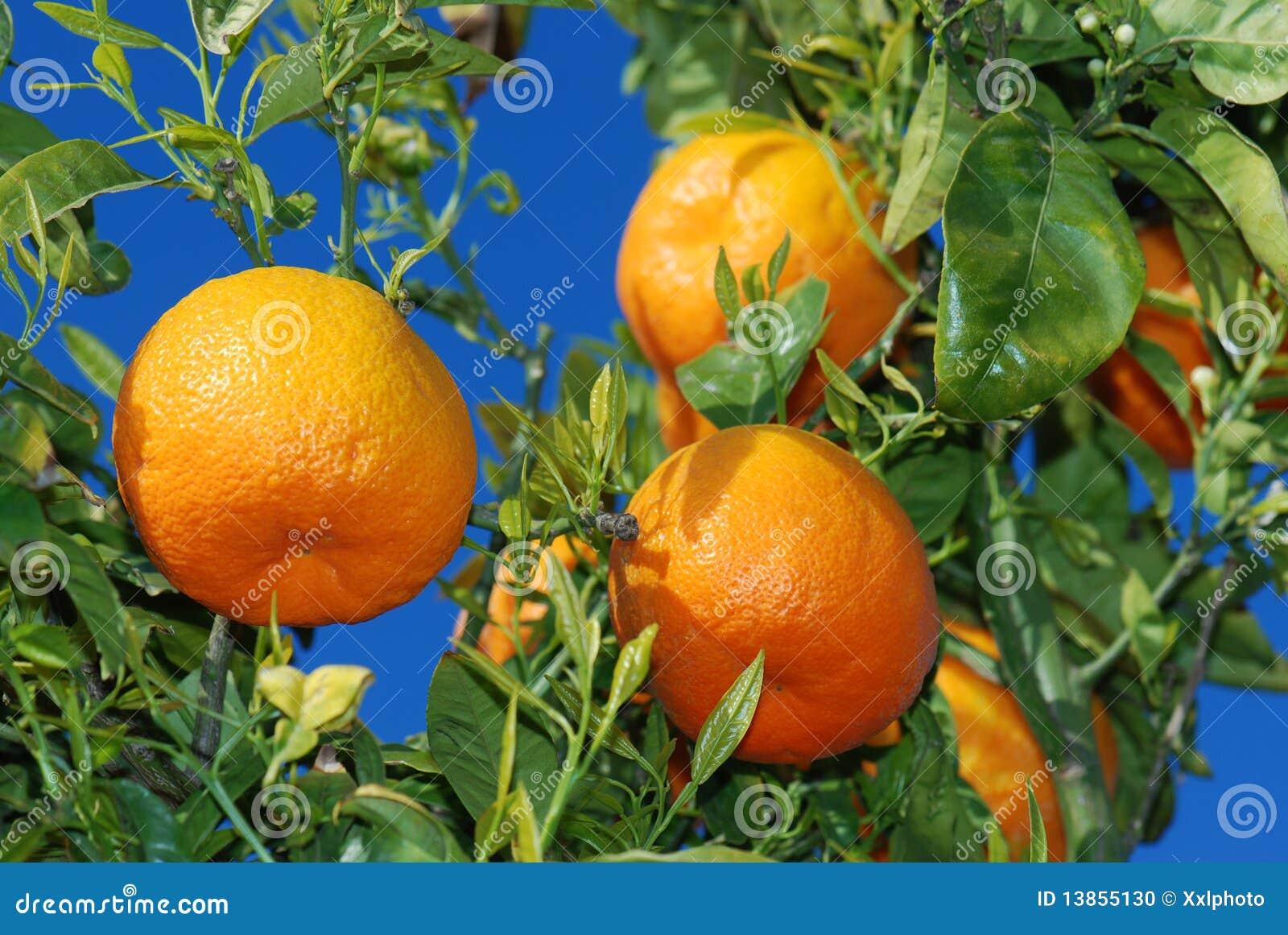 Naranjas maduras en el árbol