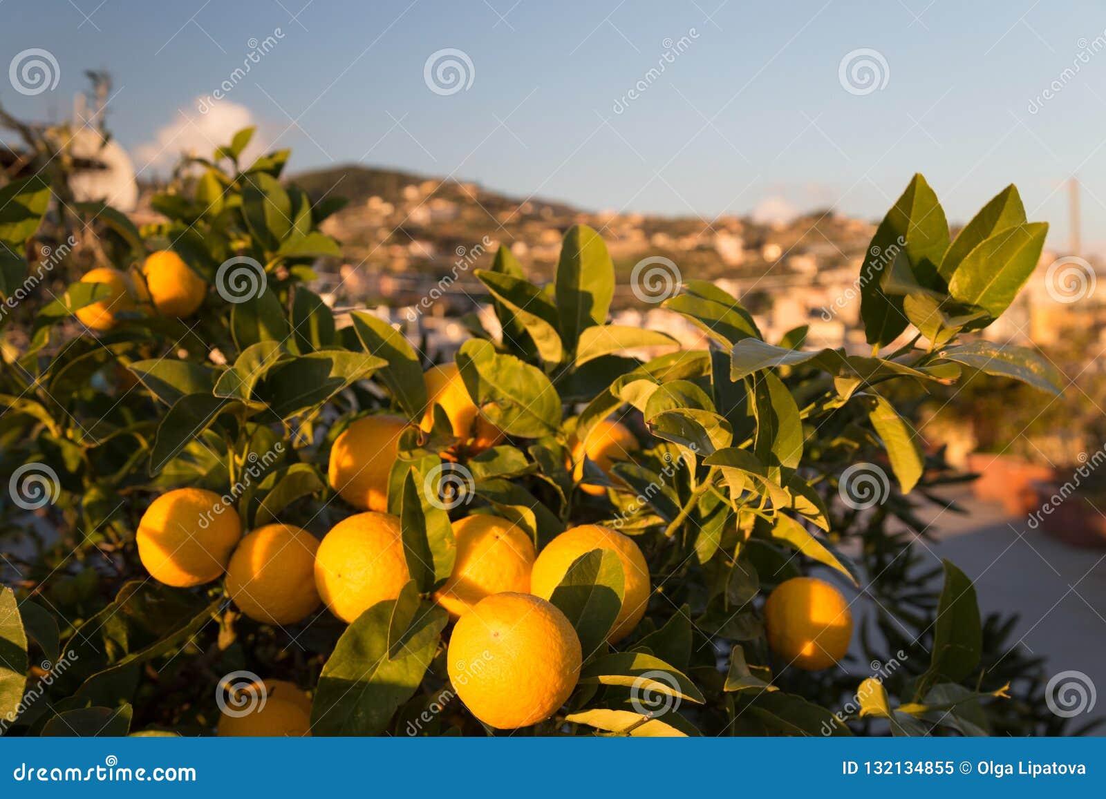 Naranjas maduras en un árbol