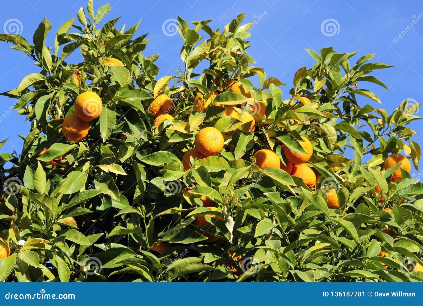 Naranjas maduras en un árbol frutal