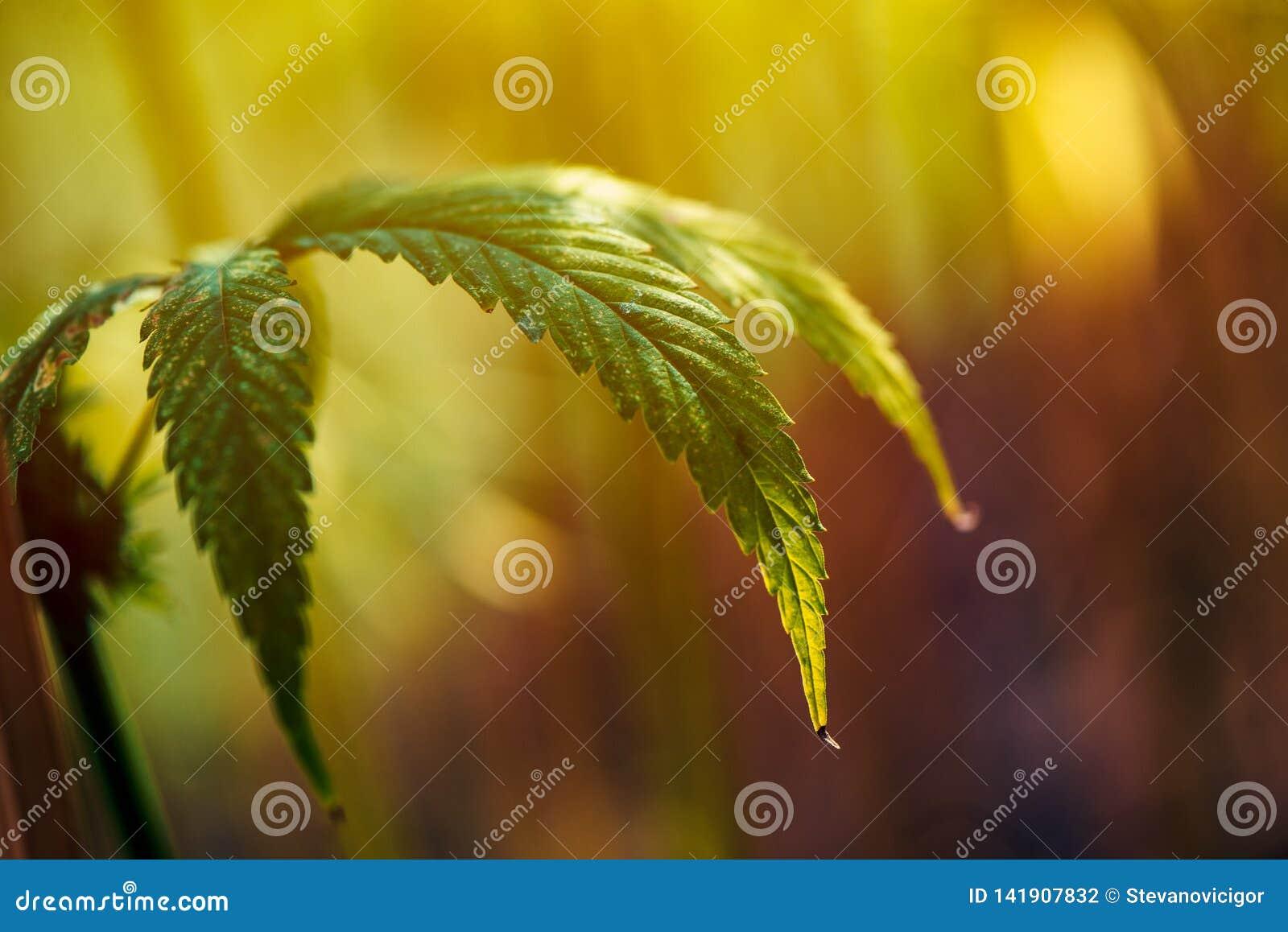 Narastający organicznie konopie na plantacji