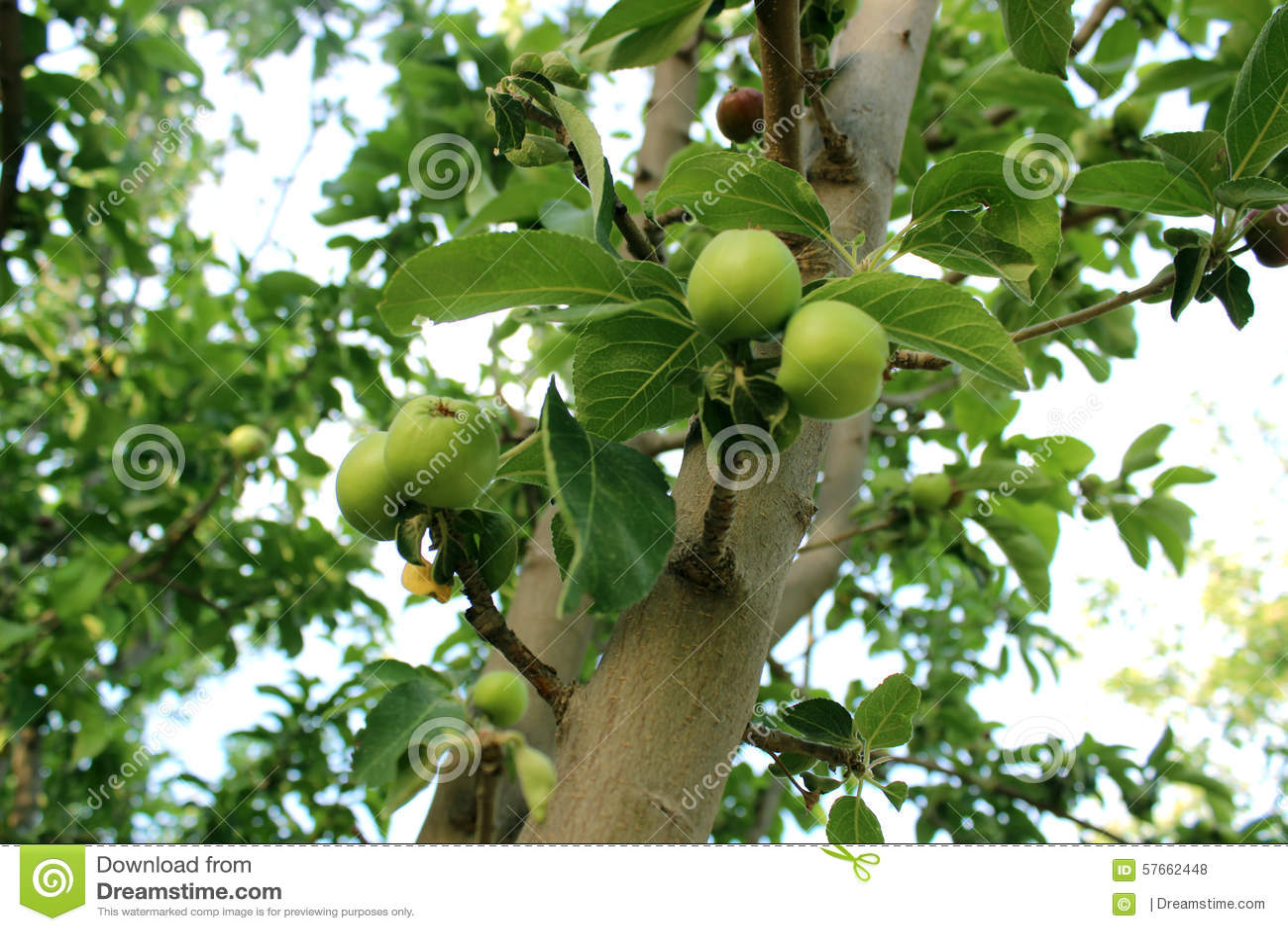 Narastająca jabłoń