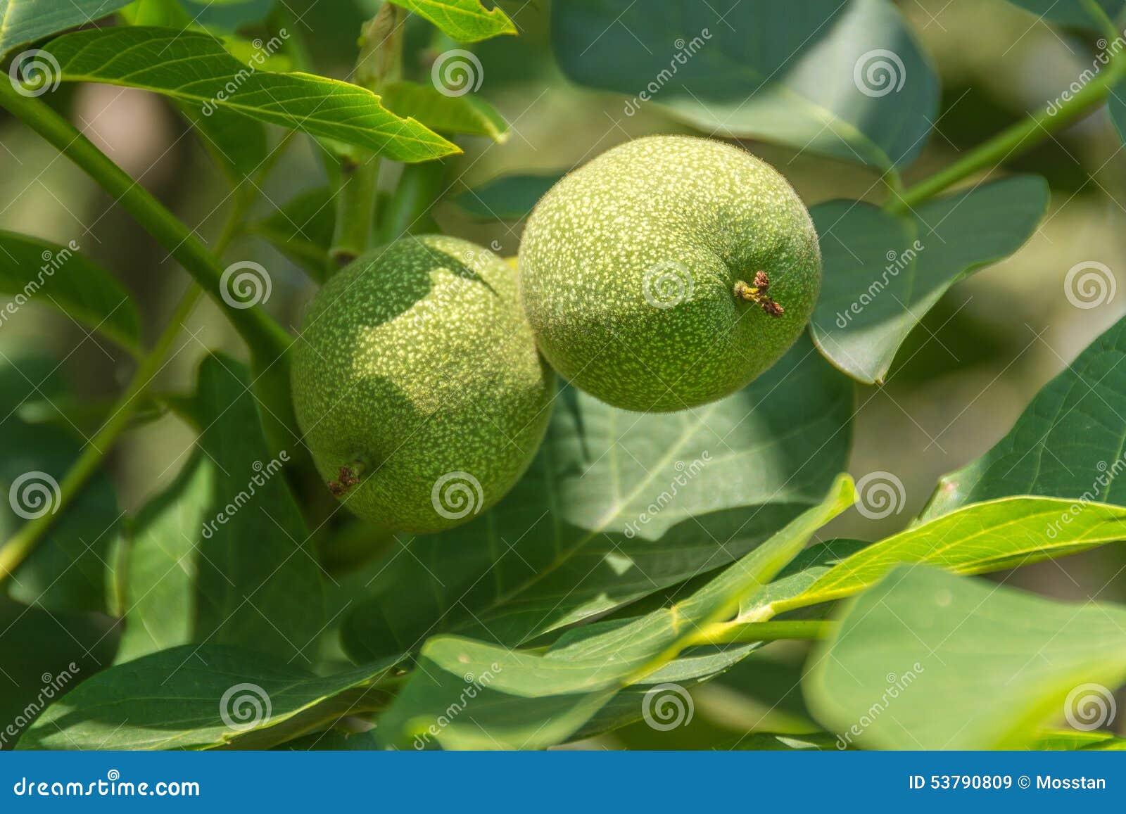 Narastający drzewni orzech włoski