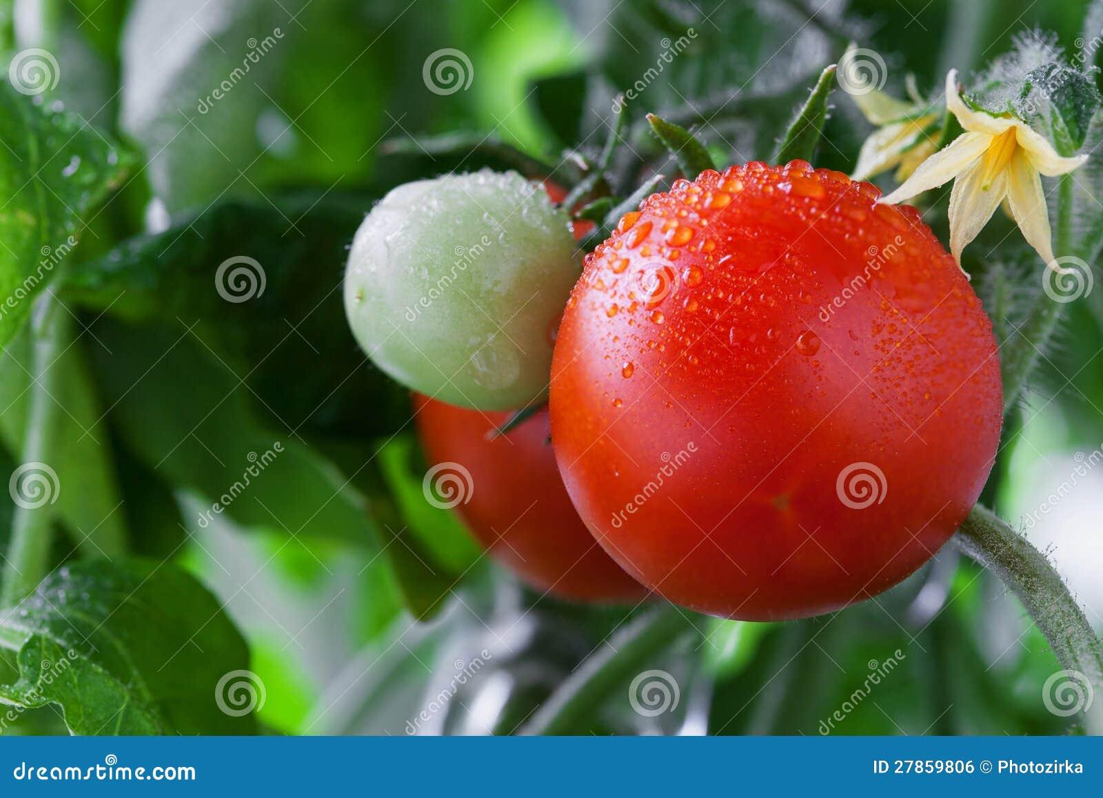 Narastający pomidory