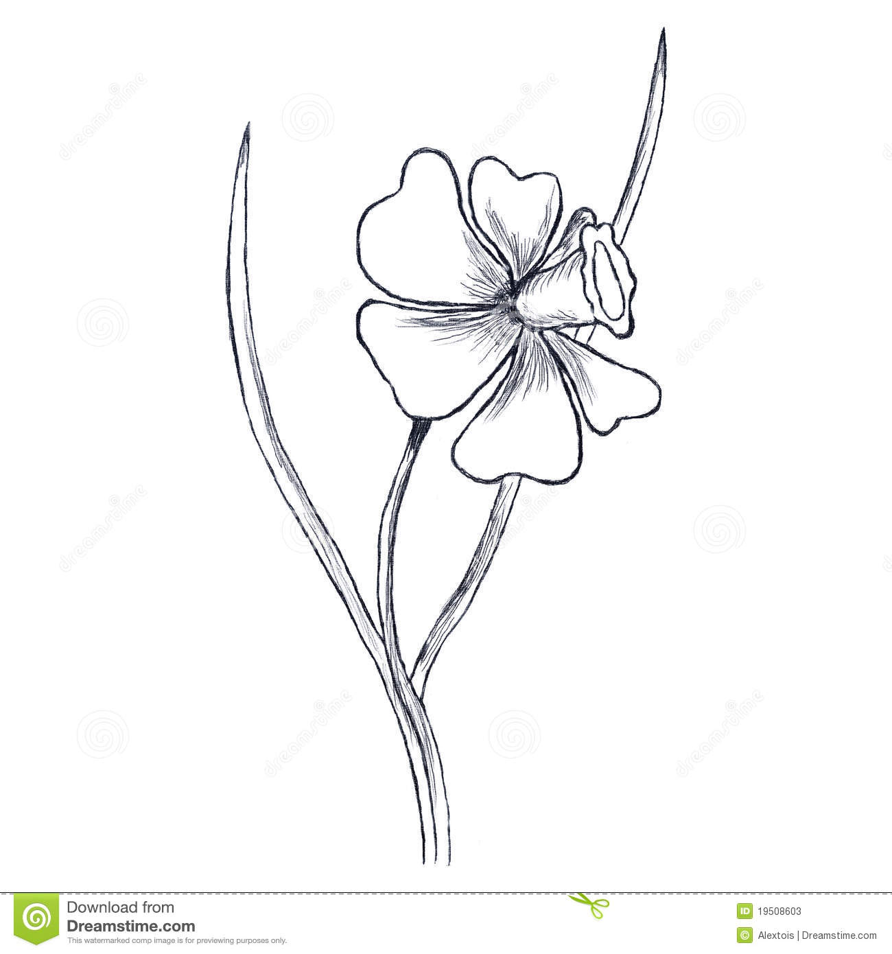 Narcis Flower Sketch This Is Picture Drawed With Pencil