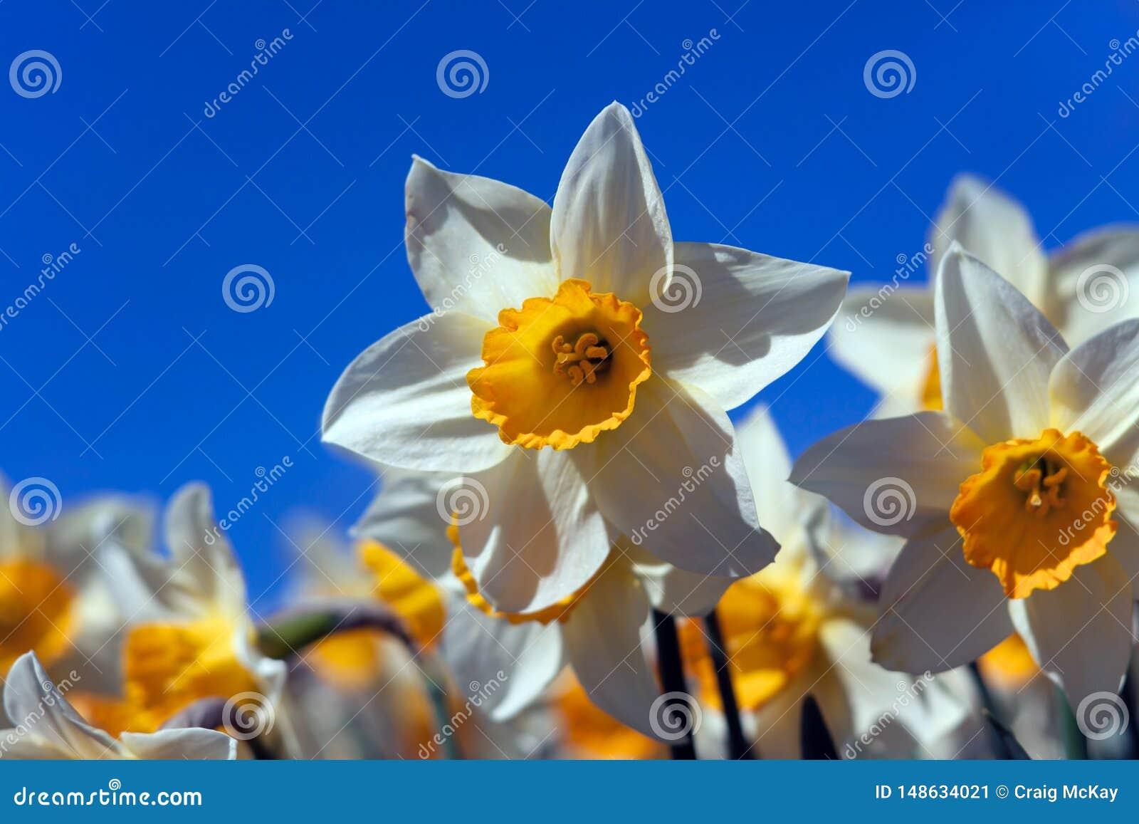 Narcisi della primavera contro cielo blu