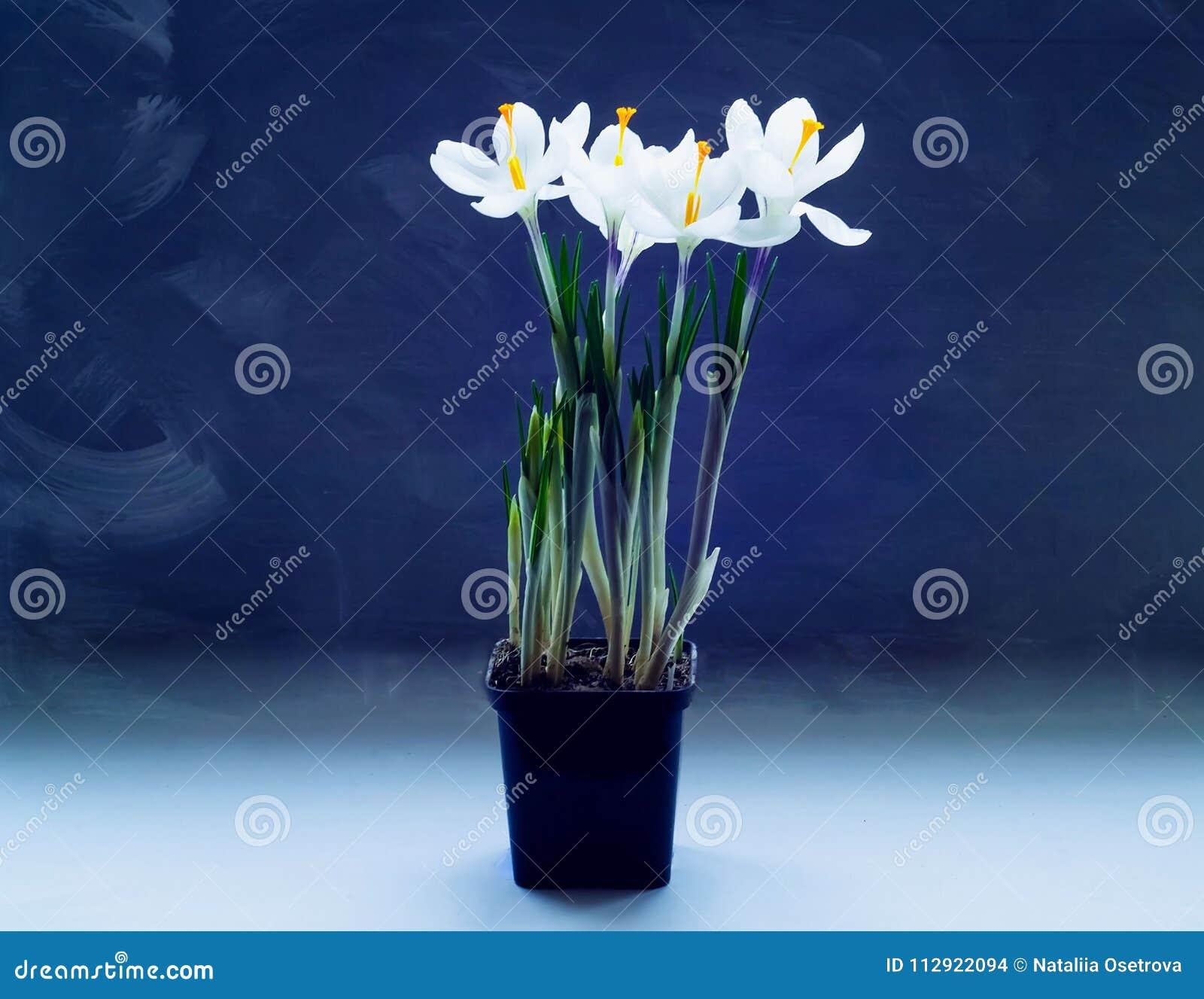 Narcisi in un vaso su un fondo di legno leggero, la serra di concetto,