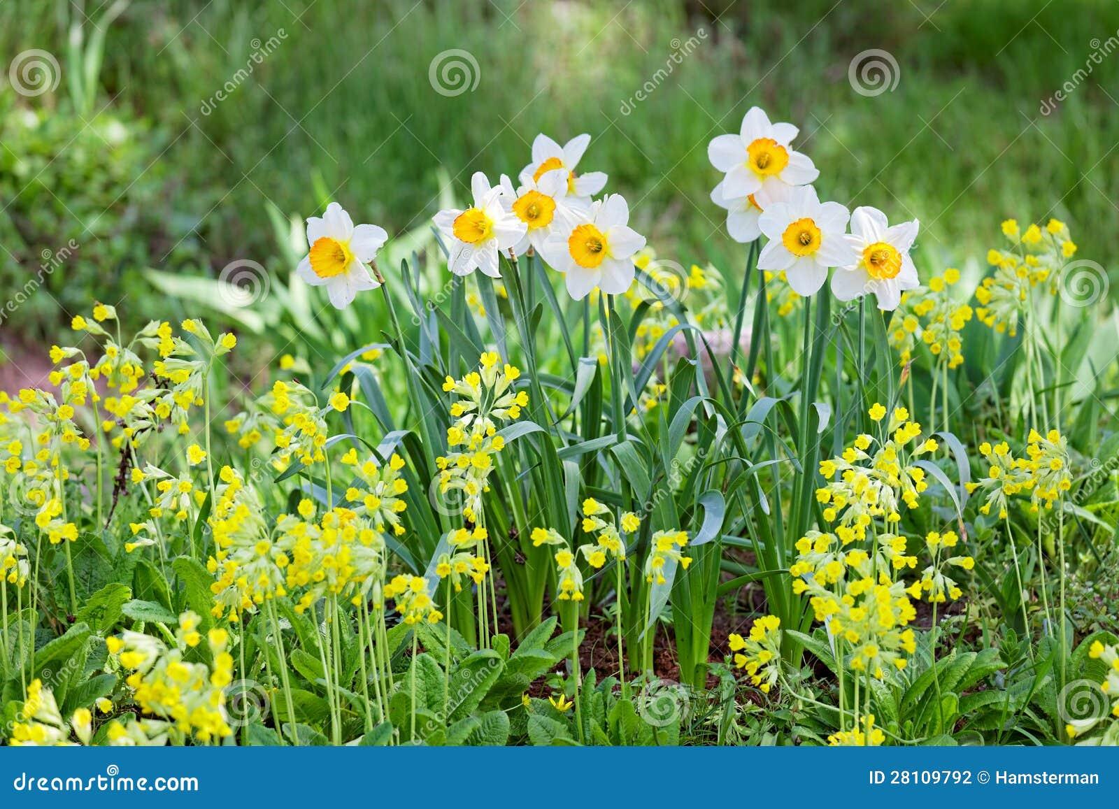 Narciso bianco e giallo fotografia stock immagine 28109792 for Narciso giallo