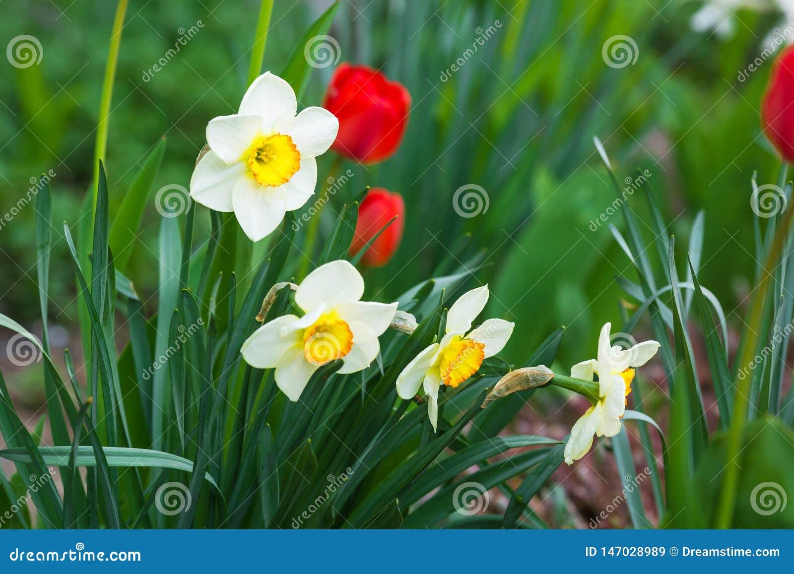Narciso blanco con un corazón amarillo y tulipanes rojos que crecen en el jardín