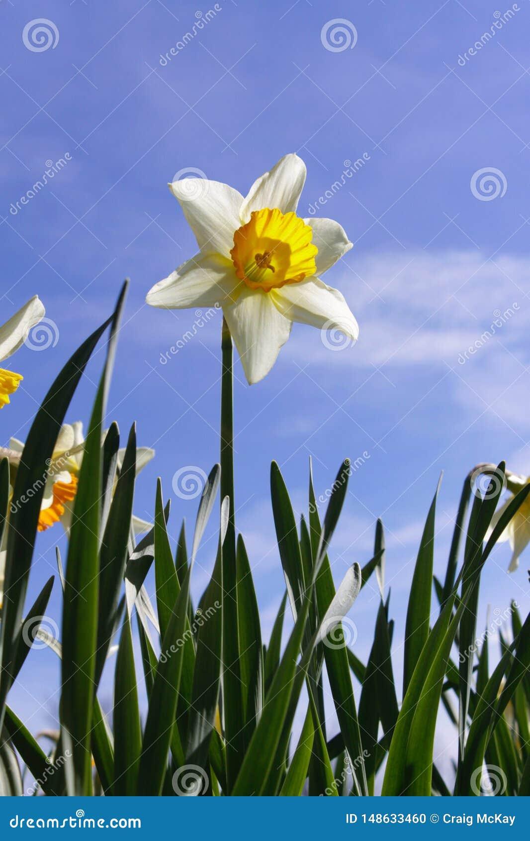 Narciso contro cielo blu