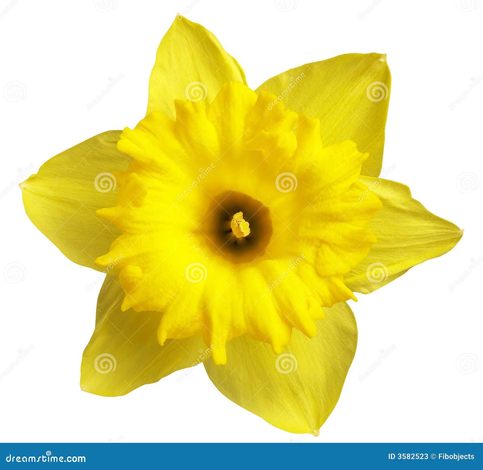Narciso giallo immagine stock immagine di clipping for Narciso giallo