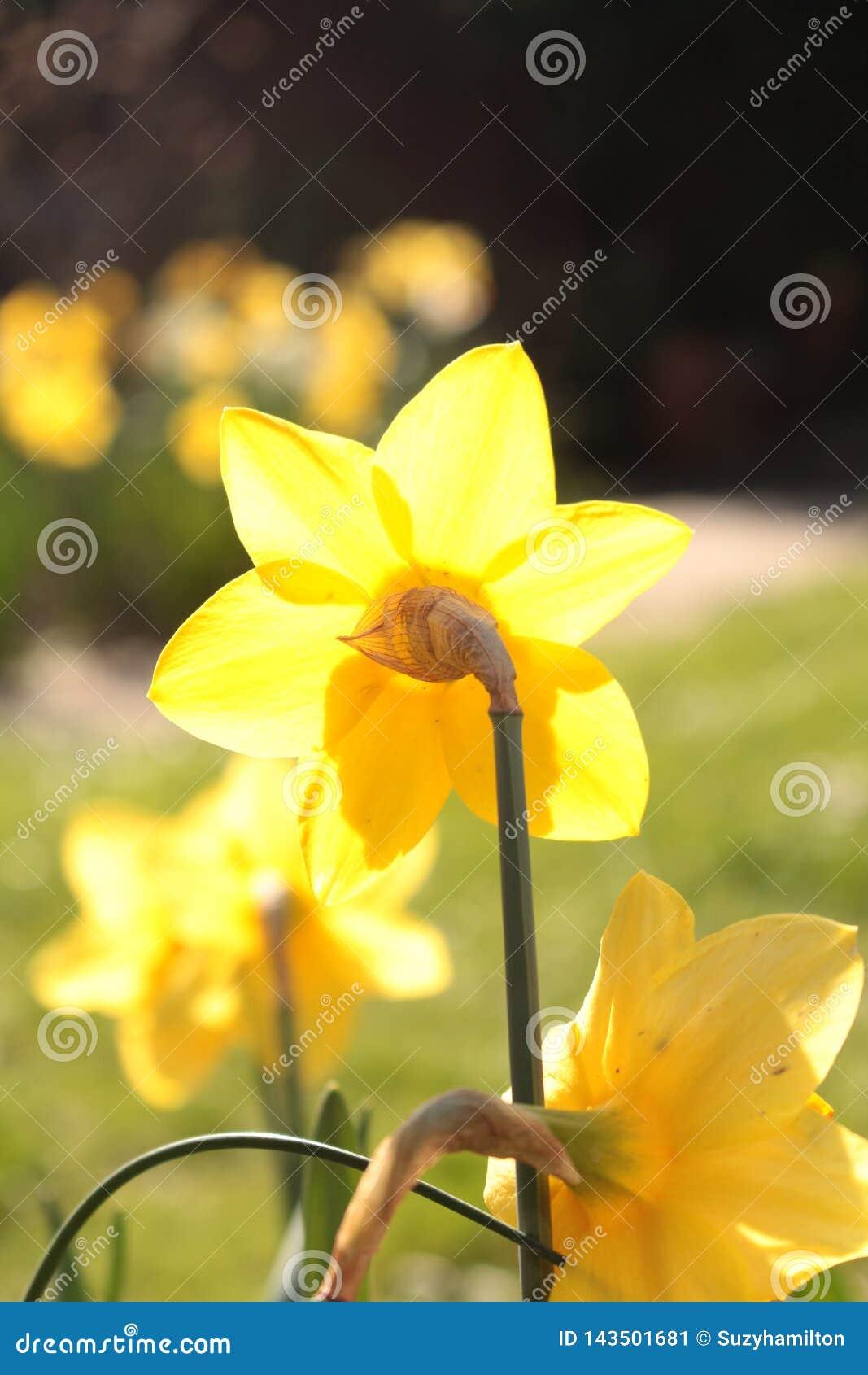 Narciso macro de la flor del narciso visto de la parte posterior de la flor
