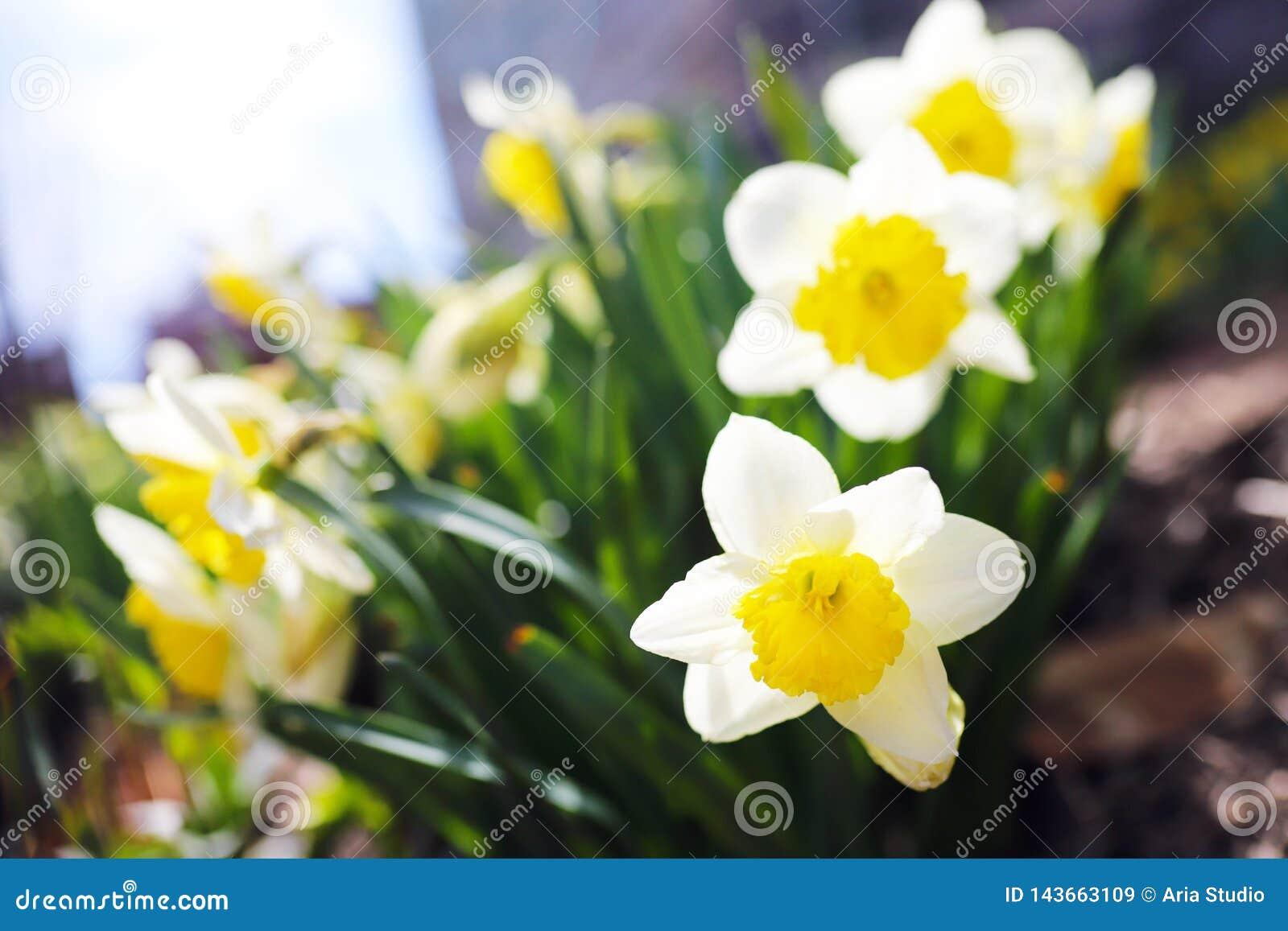 Narcisos amarelos bonitos em um dia ensolarado de março