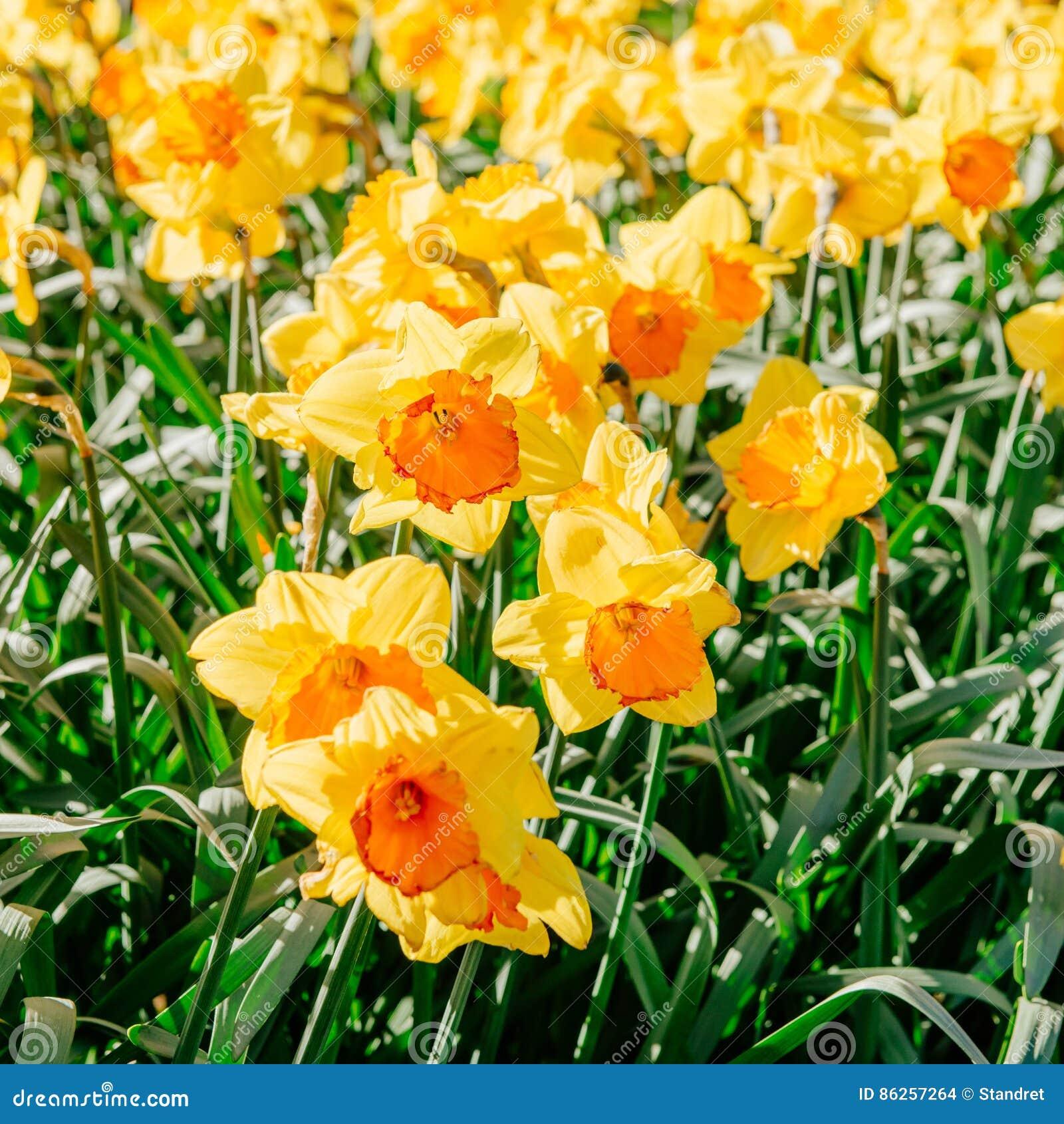 Narcisos Amarillos En Los Jardines De Holanda Efecto Luminoso De - Narcisos-amarillos