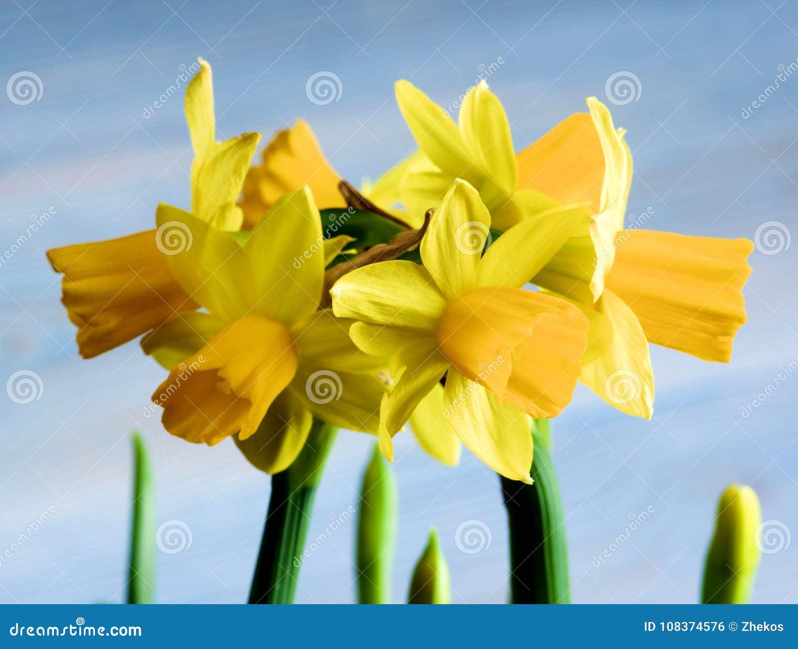 Narcisos Amarillos Salvajes Foto De Archivo Imagen De Primer - Narcisos-amarillos