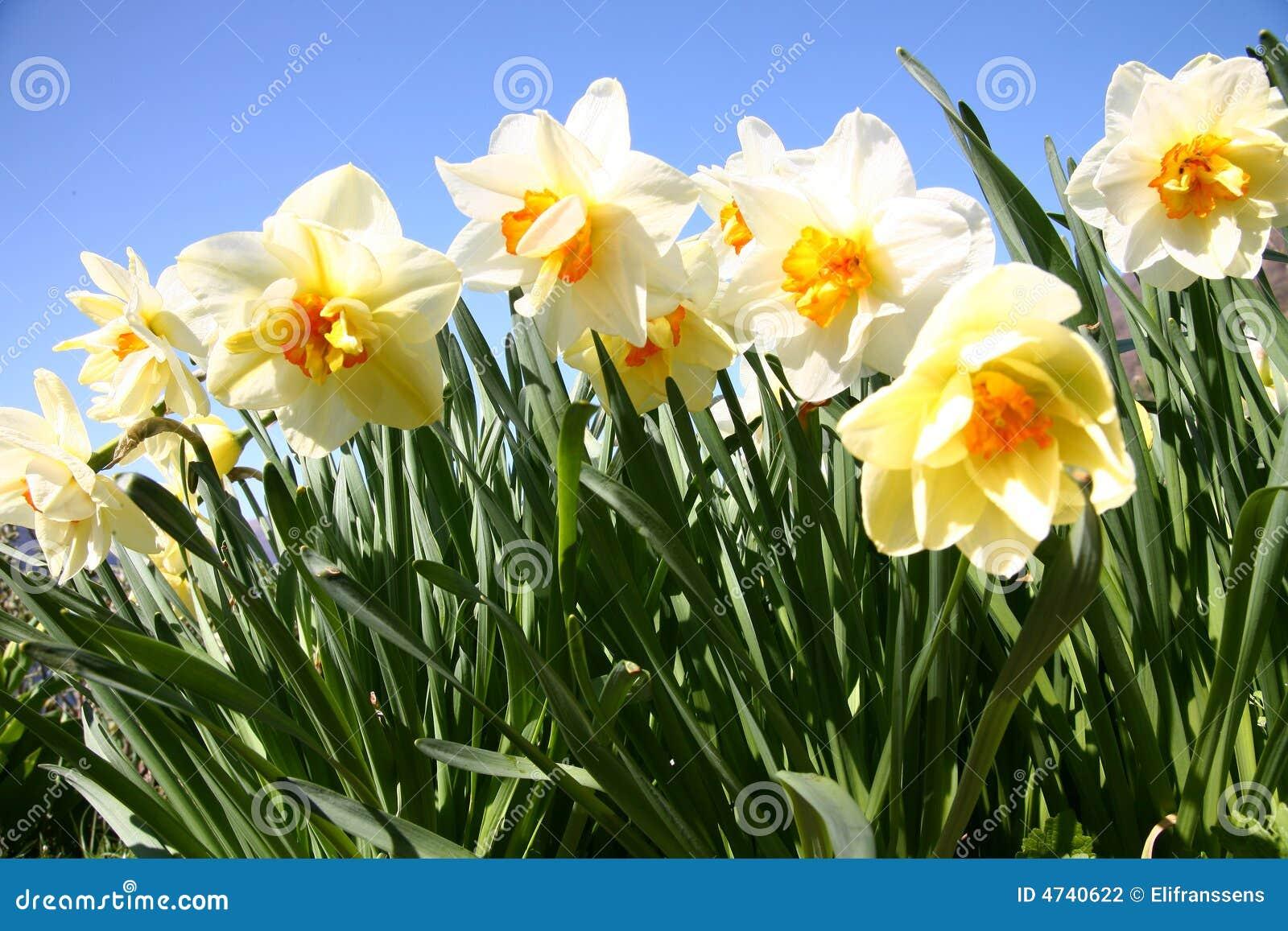 Narcisos Blancos Y Amarillos Foto De Archivo Imagen De Flores - Narcisos-amarillos