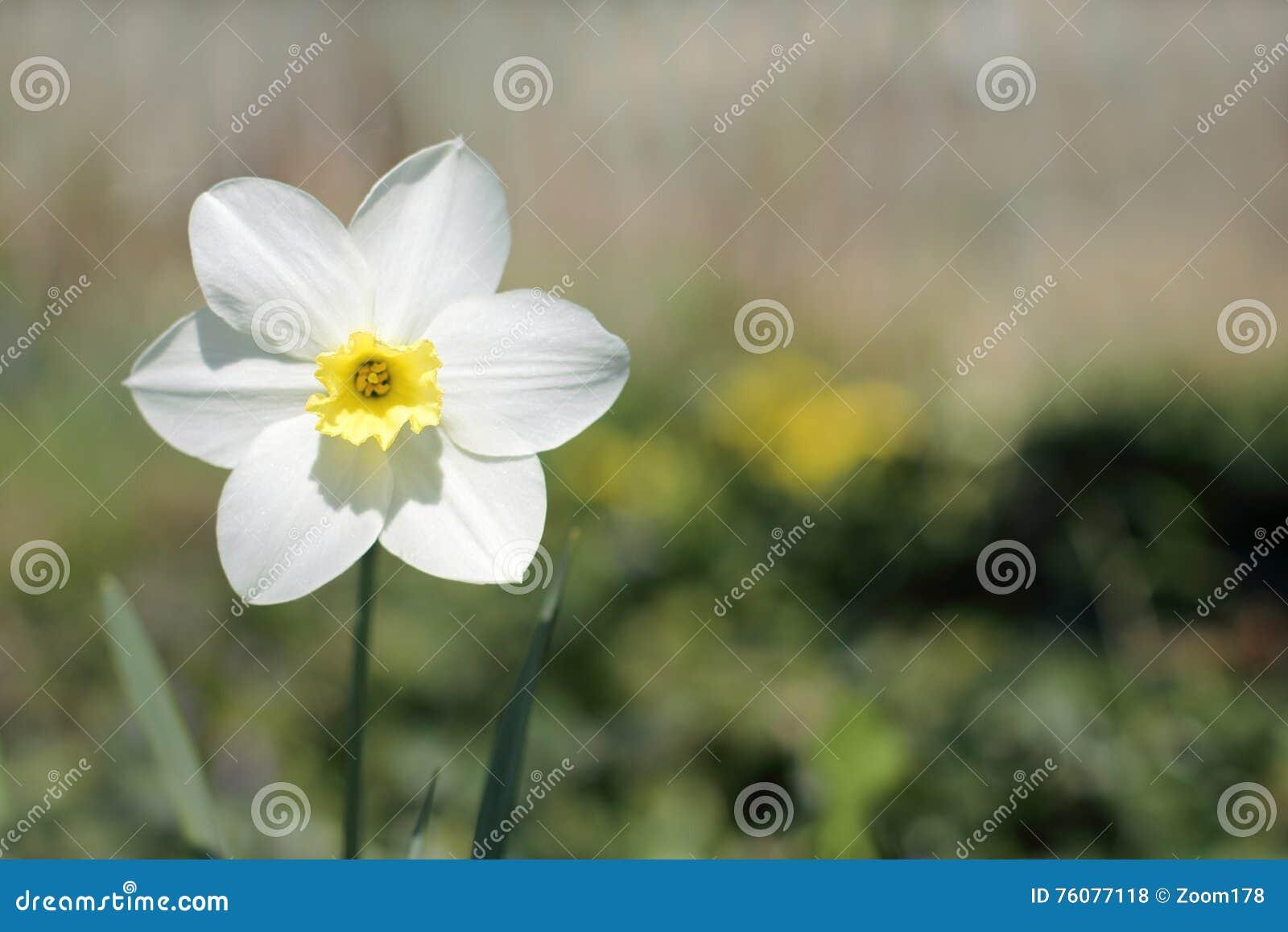 Narcisse de fleur de ressort