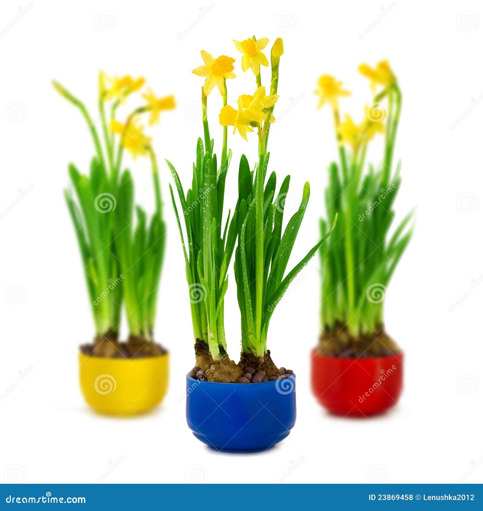 narcisse et jonquille dans le bac de fleur photos libres de droits image 23869458. Black Bedroom Furniture Sets. Home Design Ideas