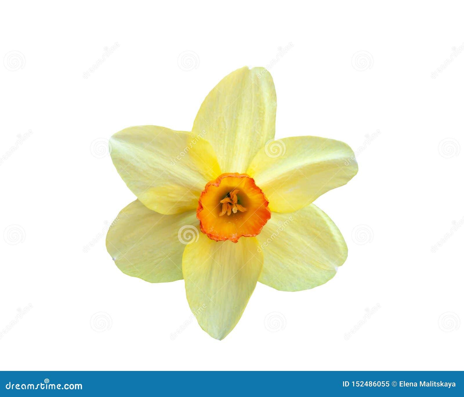 Narcisse jaune de belle fleur d isolement sur le fond blanc