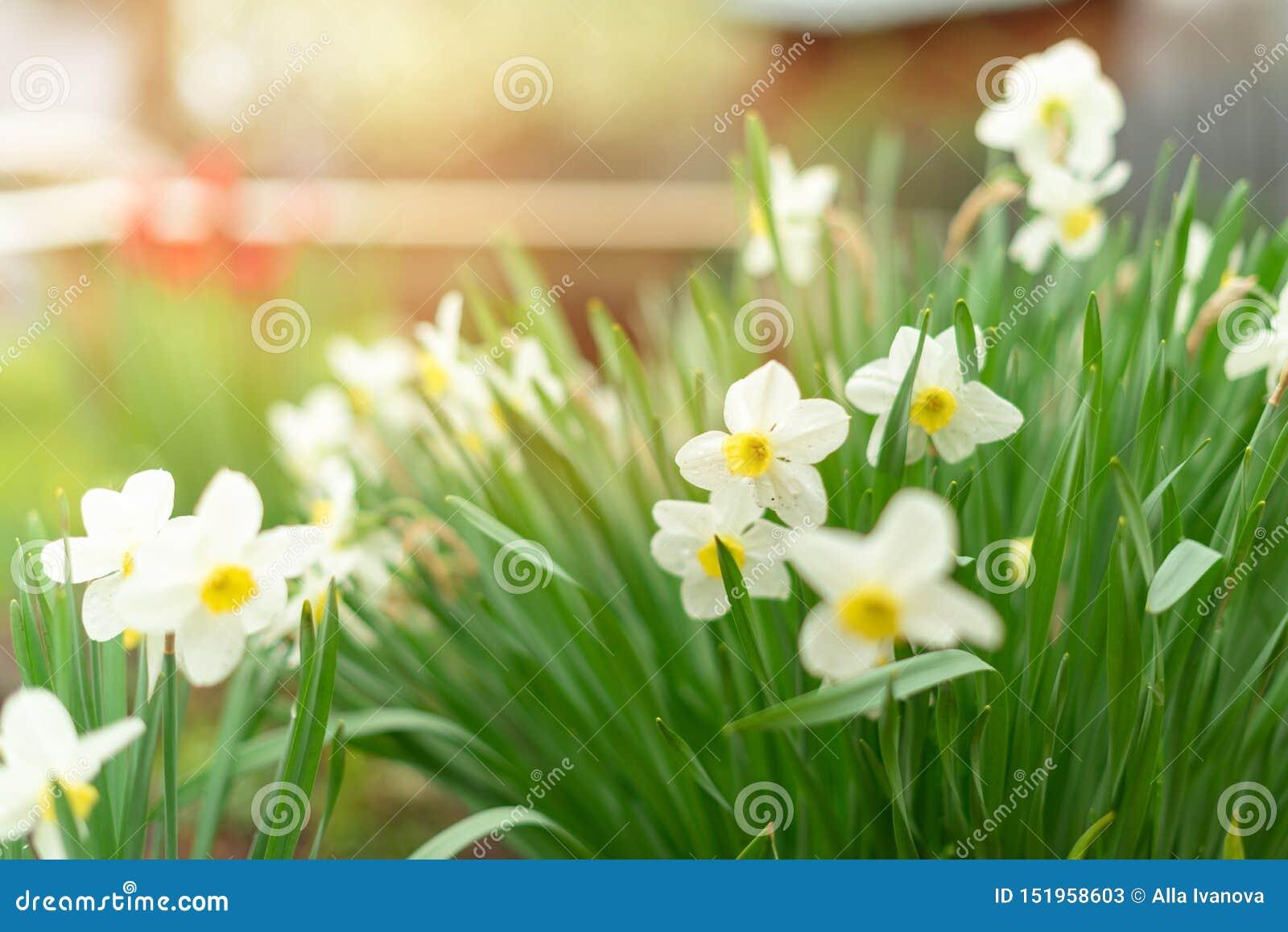 Narcissen - gele narcisbloemen, selectieve nadruk Het concept, de banner of de achtergrond van de groetkaart