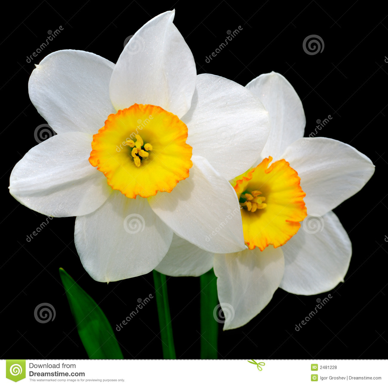 Narcissus Royalty Free Stock Photos - Image: 2481228