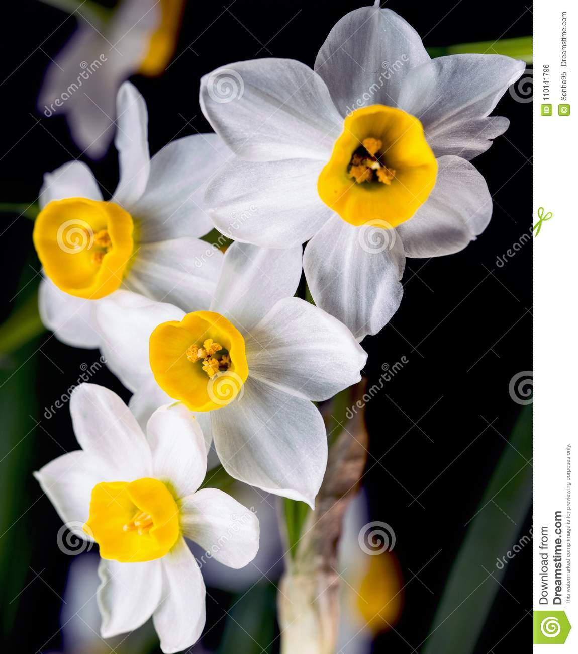 Narcissus The Daffodils Are Small White And Have A Pleasant Aroma