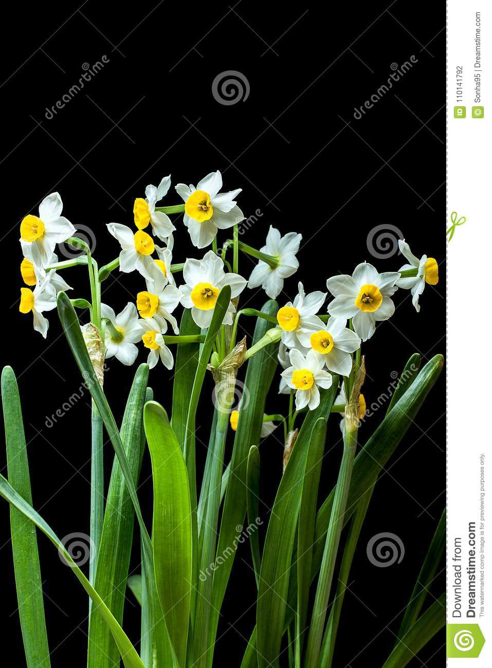 Narcissus -The Daffodils Are Small, White And Have A