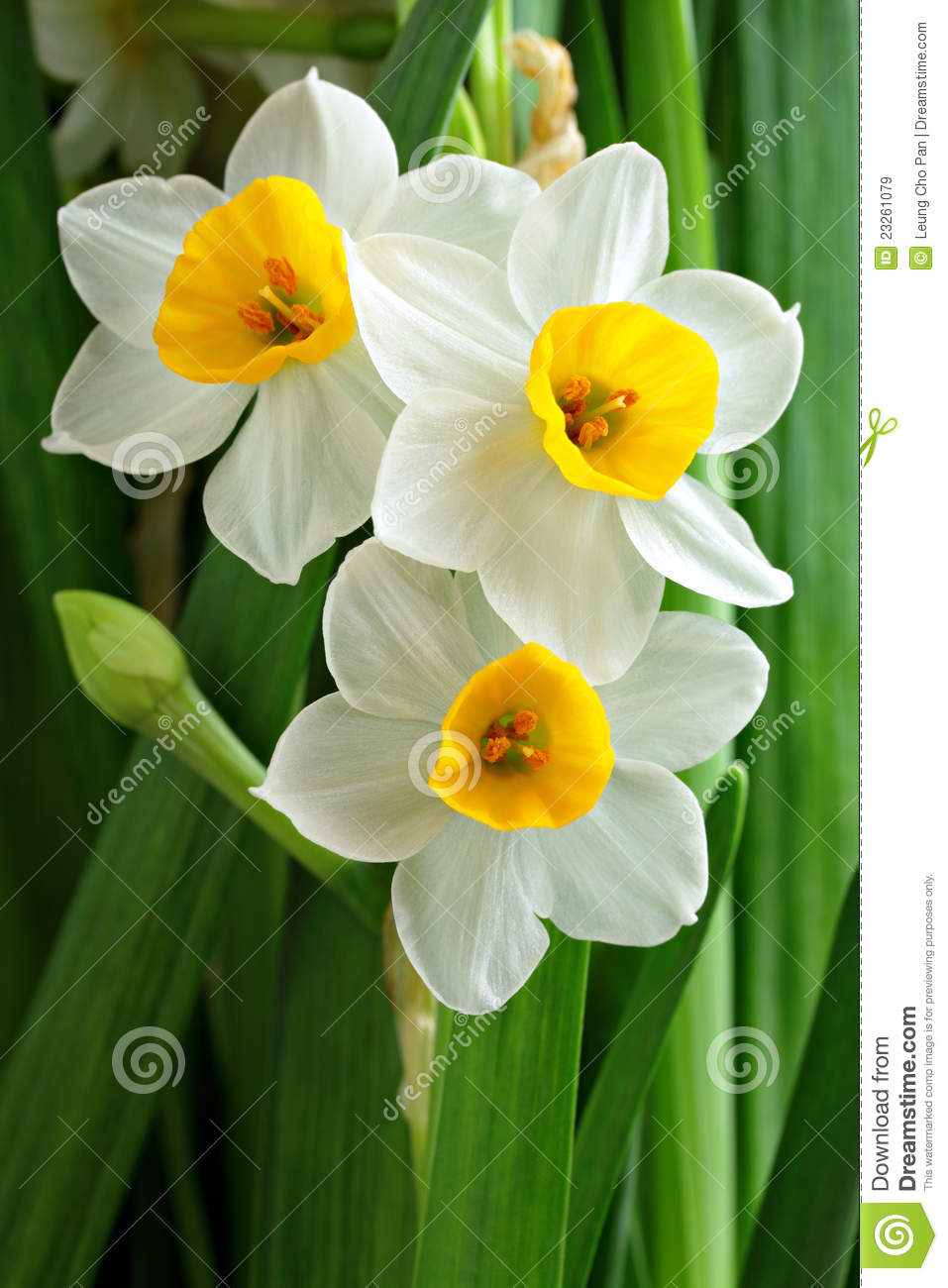 narcissus flowers  flower, Natural flower