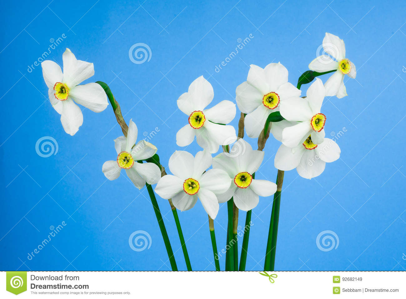 Narcissus Flowers On Blue Background Stock Image Image Of Blue
