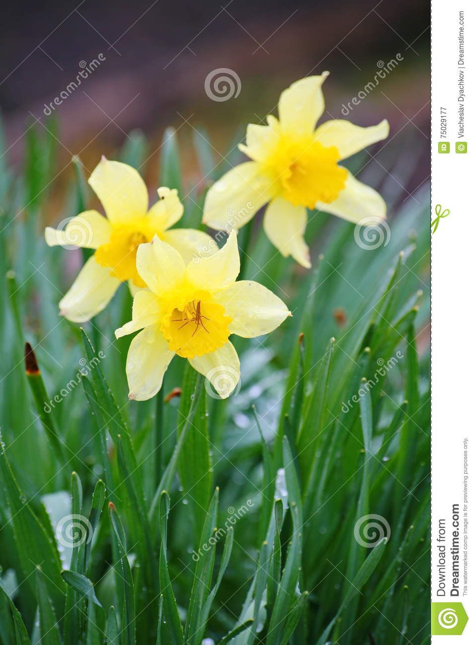 Narcissus flowers for chinese new year white daffodil in the garden download narcissus flowers for chinese new year white daffodil in the garden stock image mightylinksfo