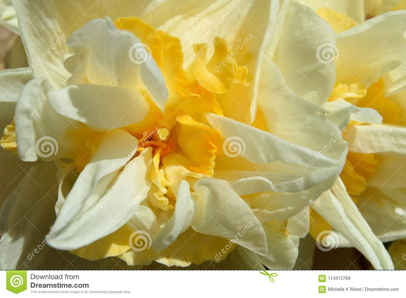 Macro Double Daffodil Narcissus White And Yellow Blossom Stock Image