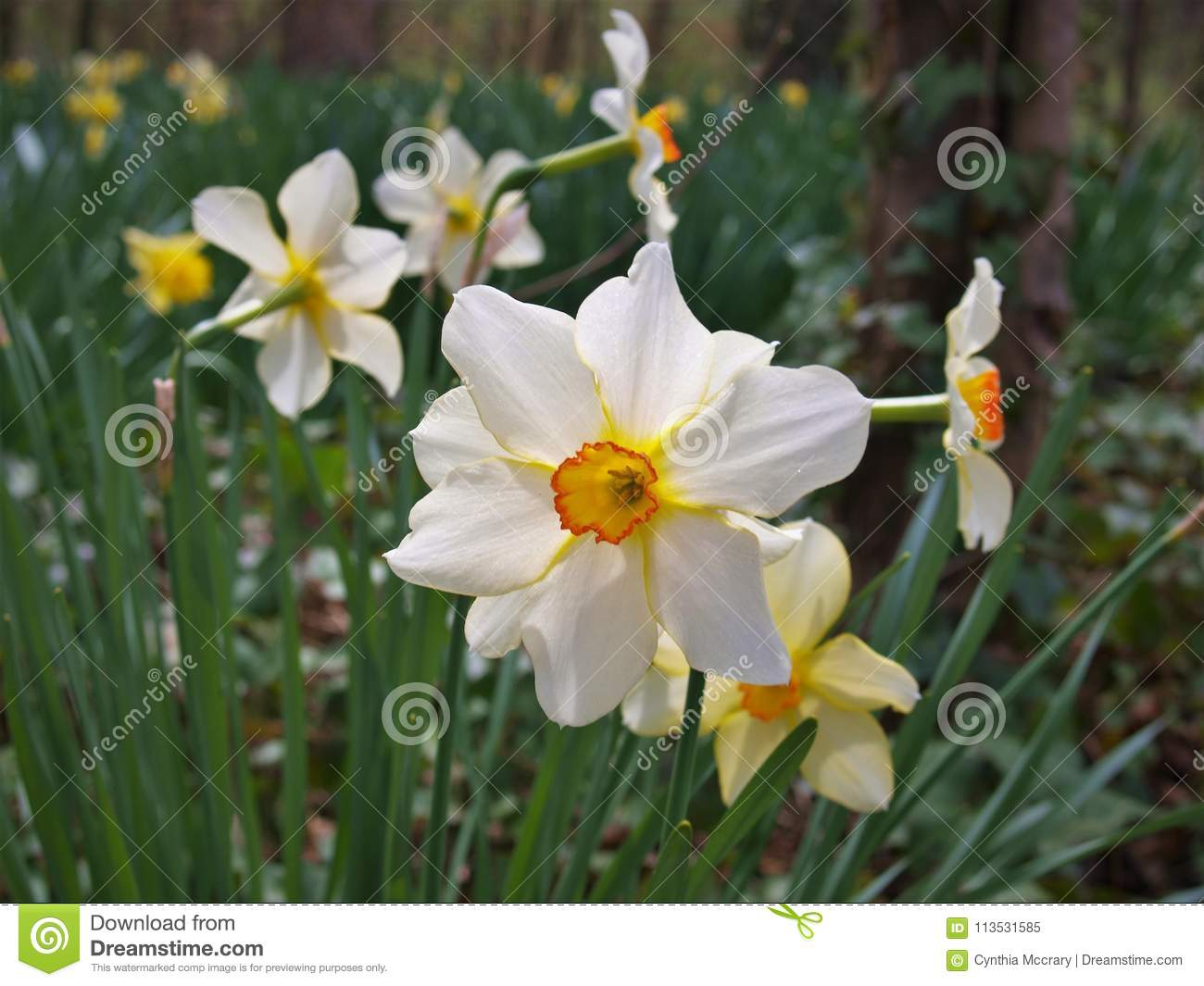 Narcissus Flowers More Commonly Called Daffodil Stock Image Image