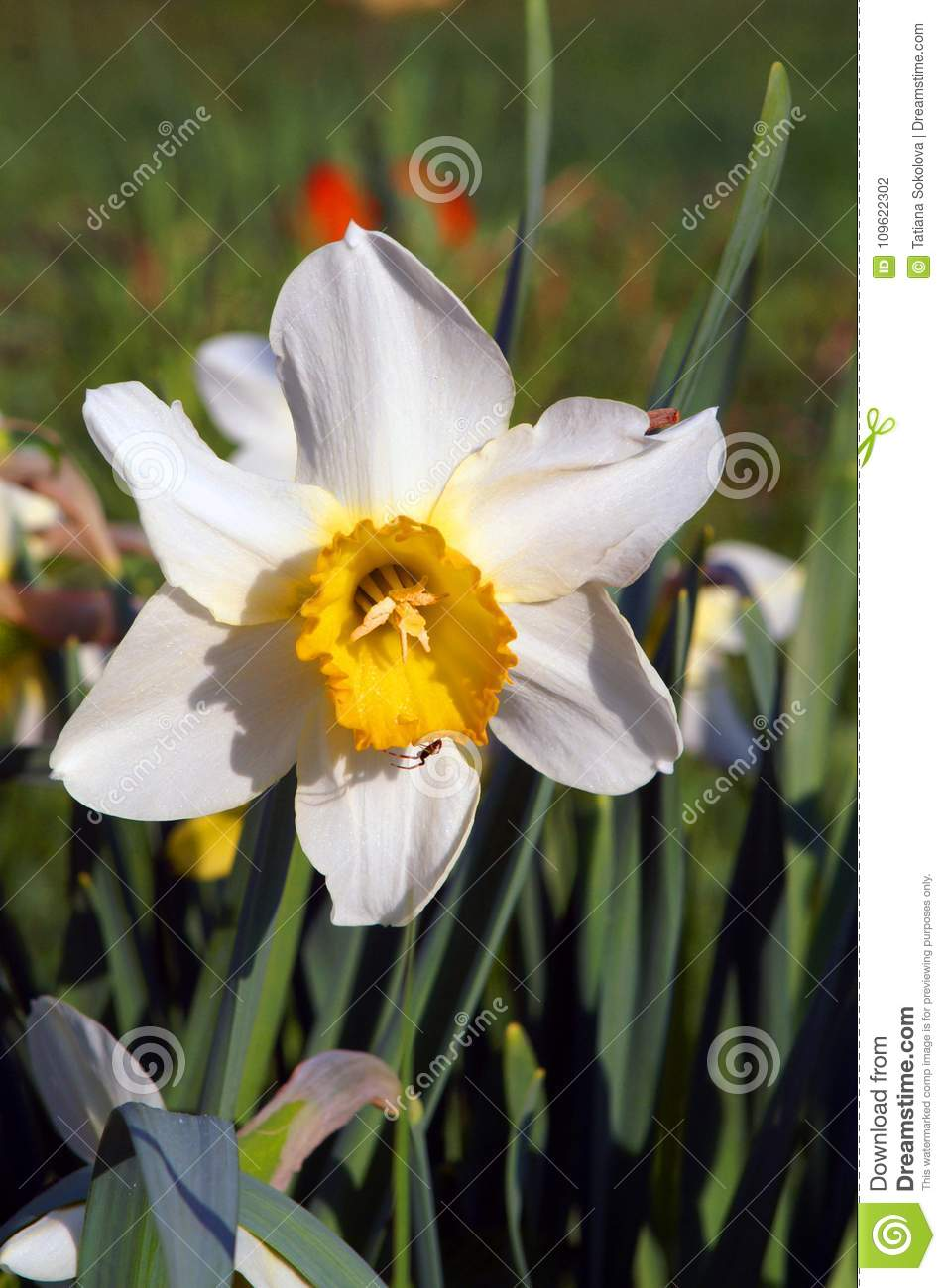 White Daffodil In A Spring Garden On A Green Background Stock Photo